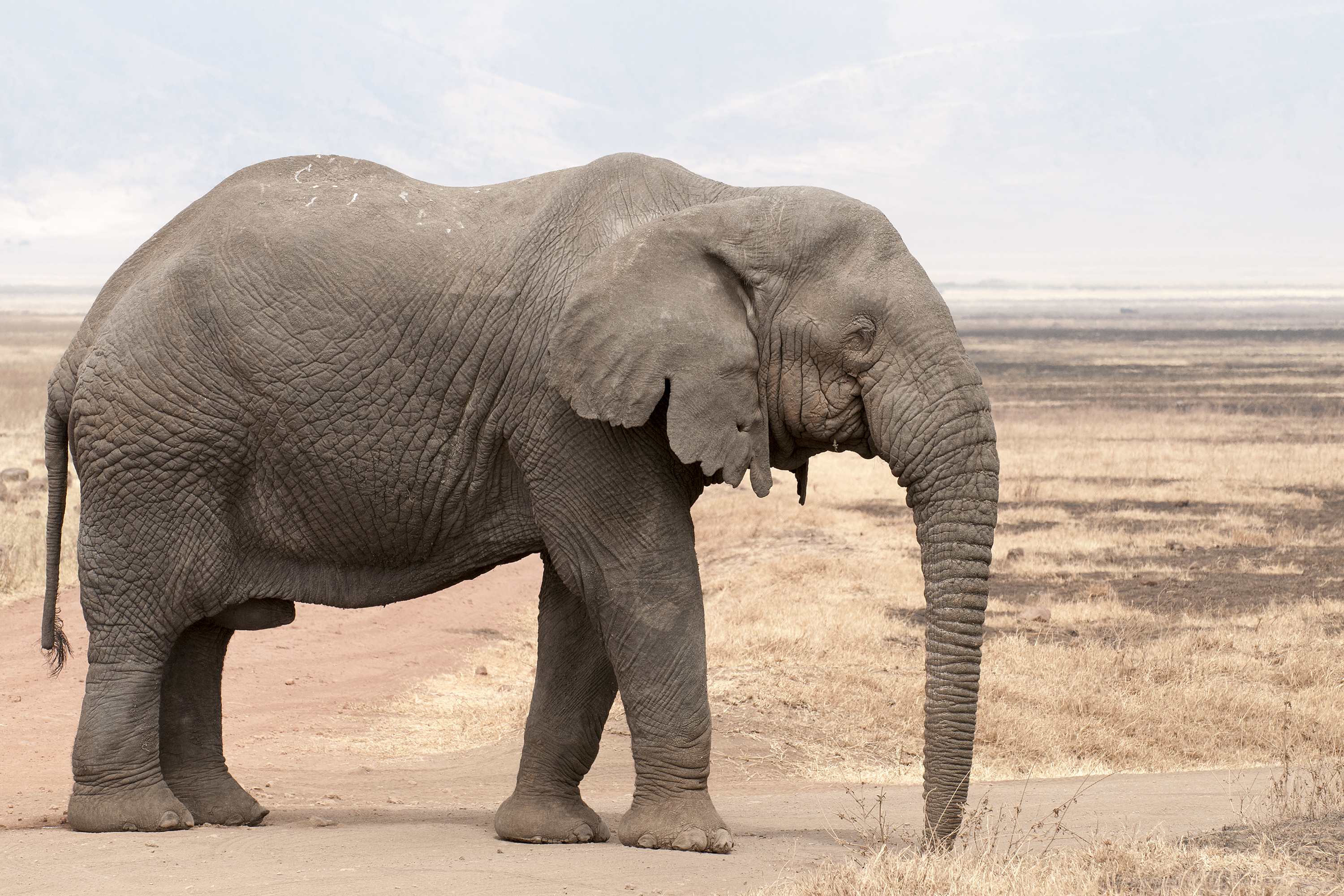 African Elephants Are Becoming Tuskless to Evade Poachers | Inverse