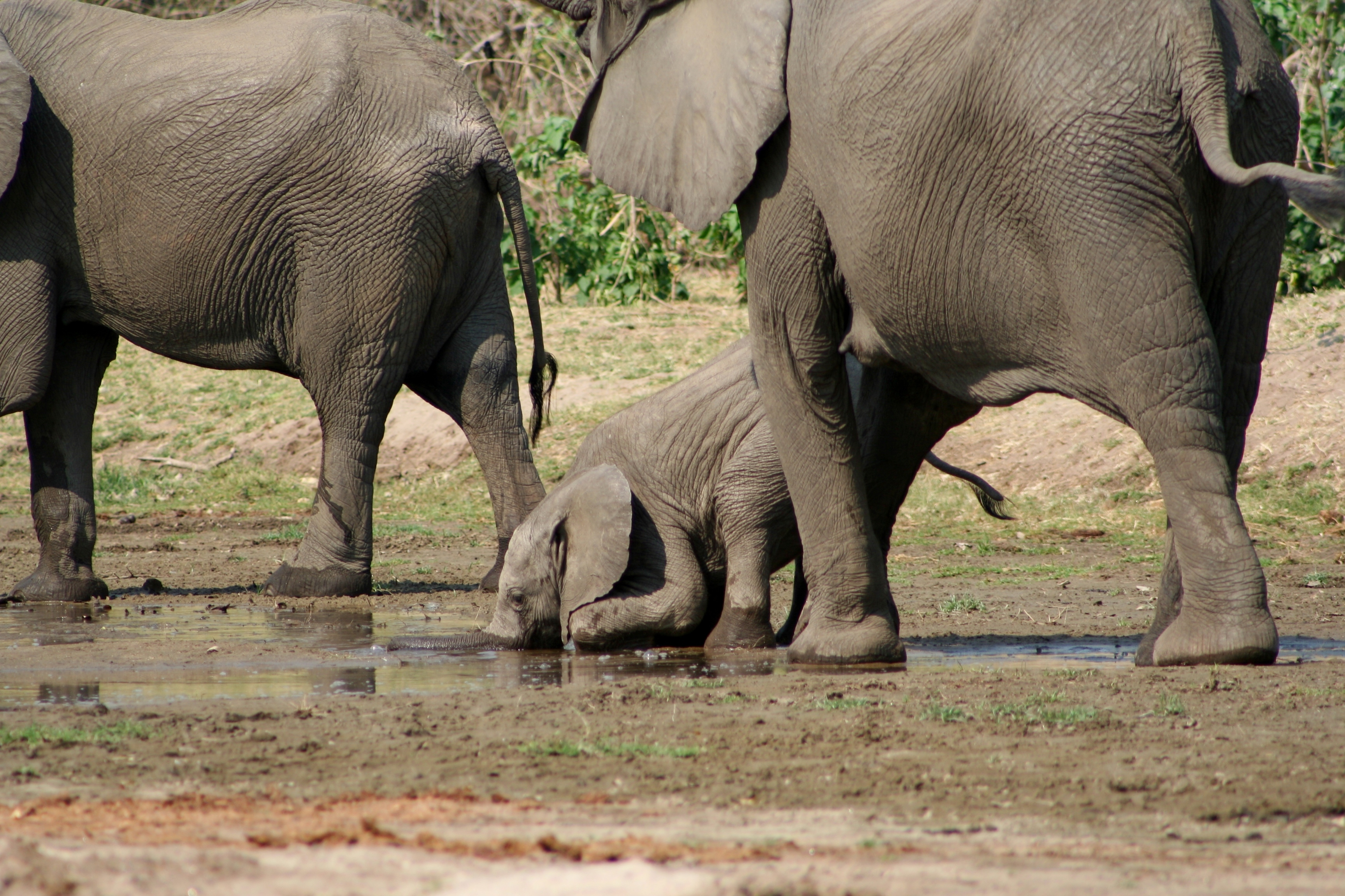 This is how baby elephants drink water (until they know better ...