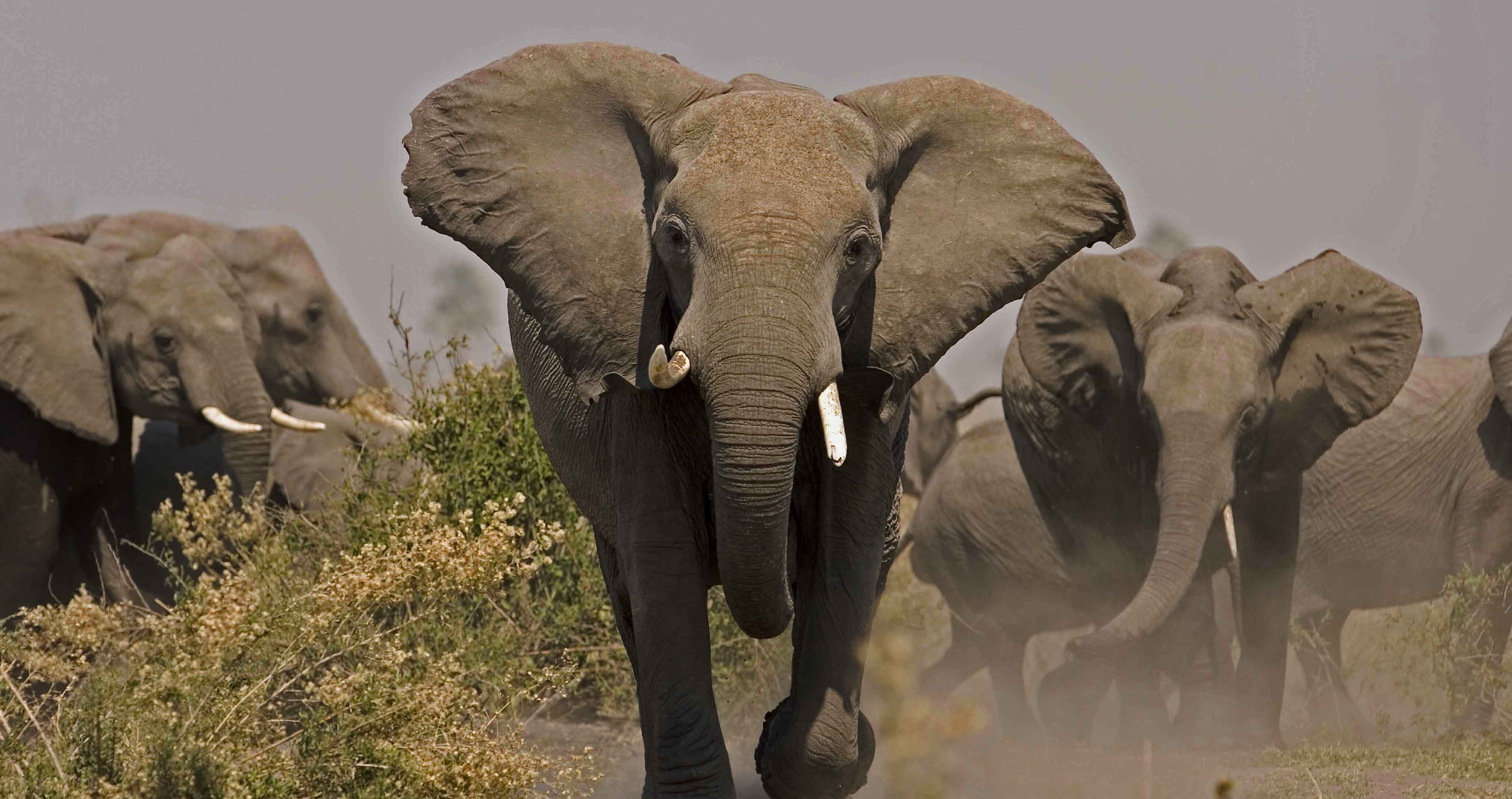 Soul of the Elephant   About   Nature   PBS