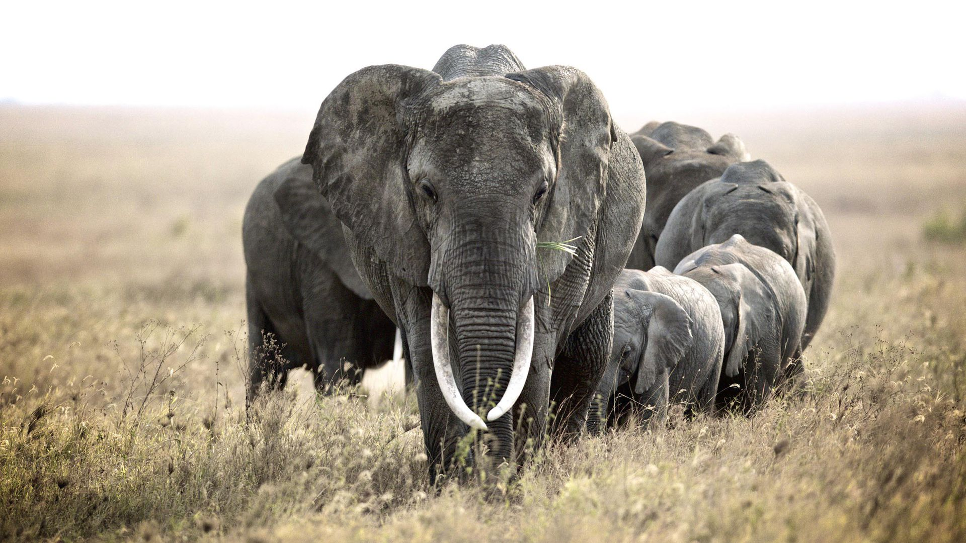 Trump admin. to consider elephant trophy imports on 'case-by-case ...