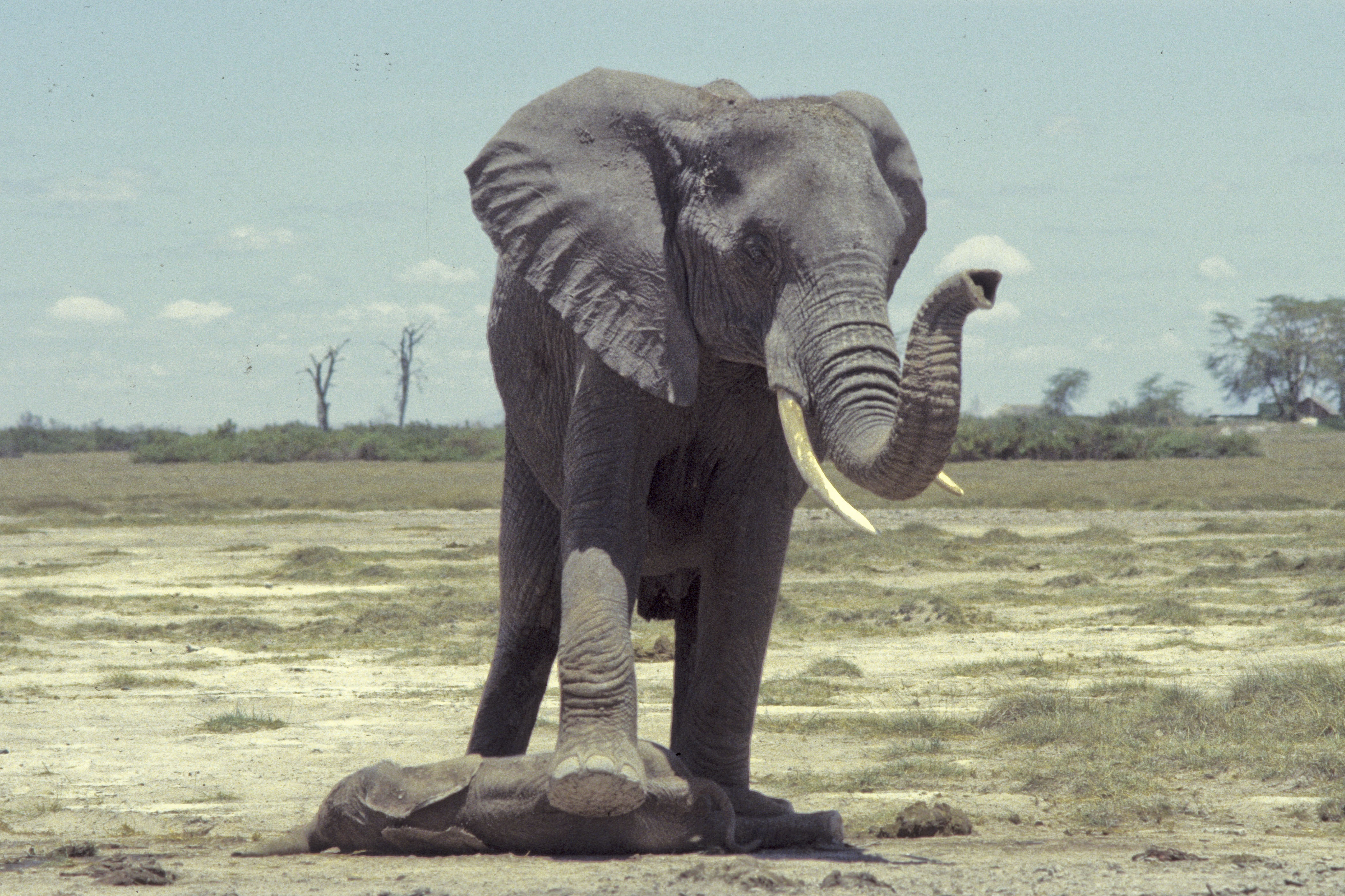 Elephants Communicate in Sophisticated Sign Language, Researchers ...