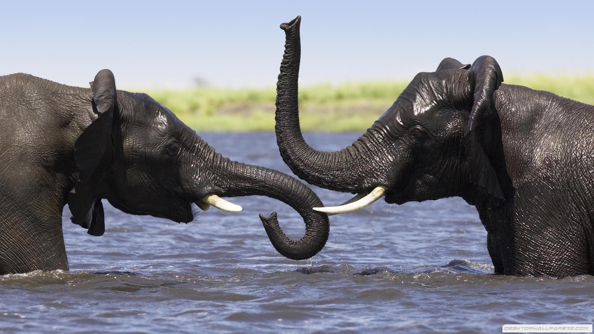 Elephant In Water 1920×1080 Wallpaper   Wide Screen Wallpaper 1080p ...