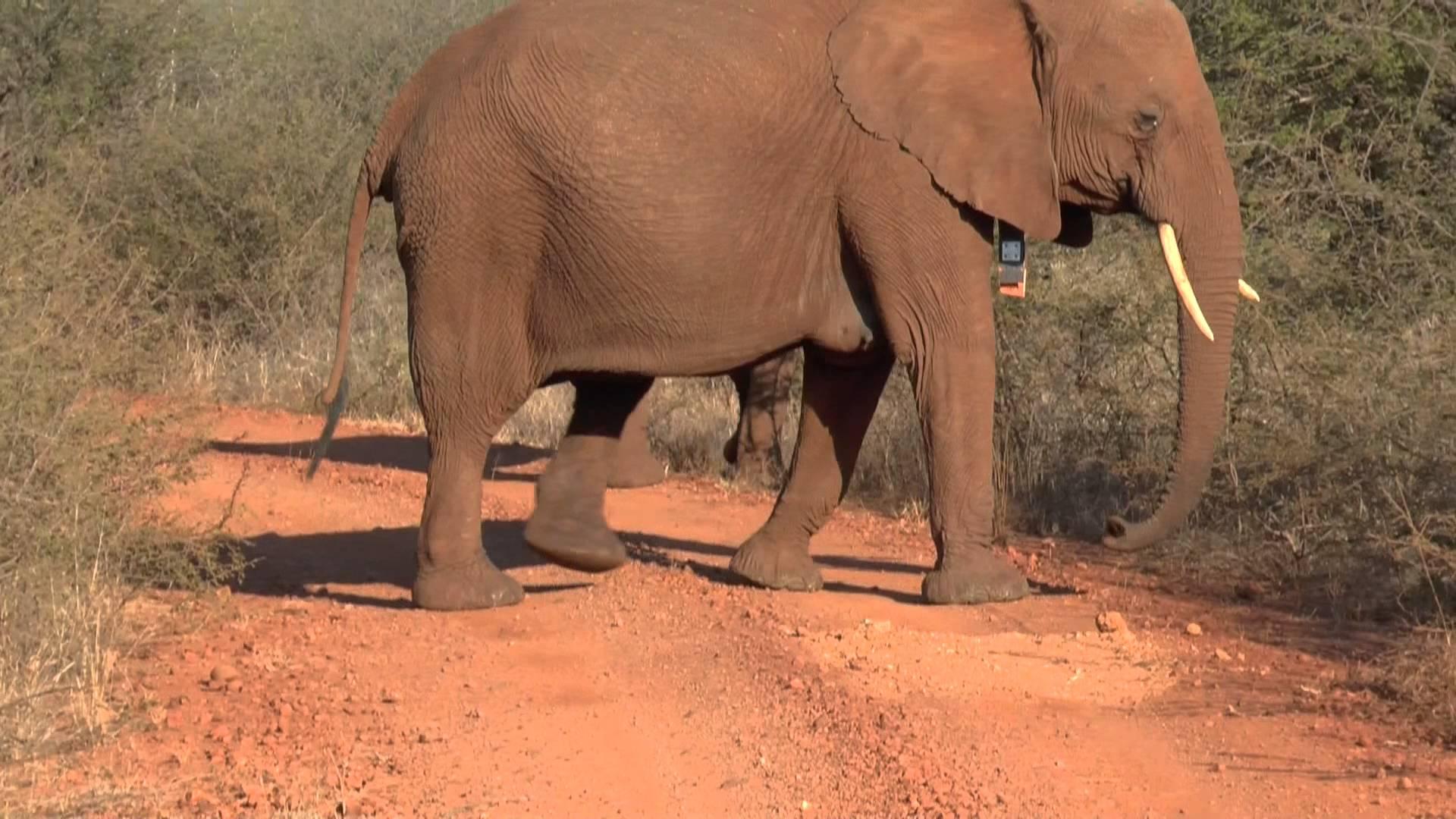 ELEPHANT WALKING - YouTube