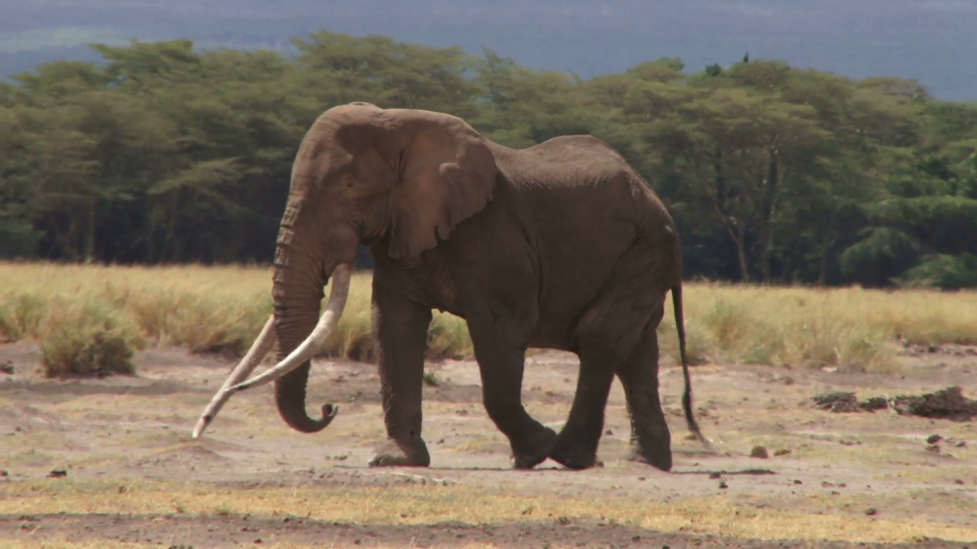 A bull elephant walking slowly. Stock Video Footage - Videoblocks