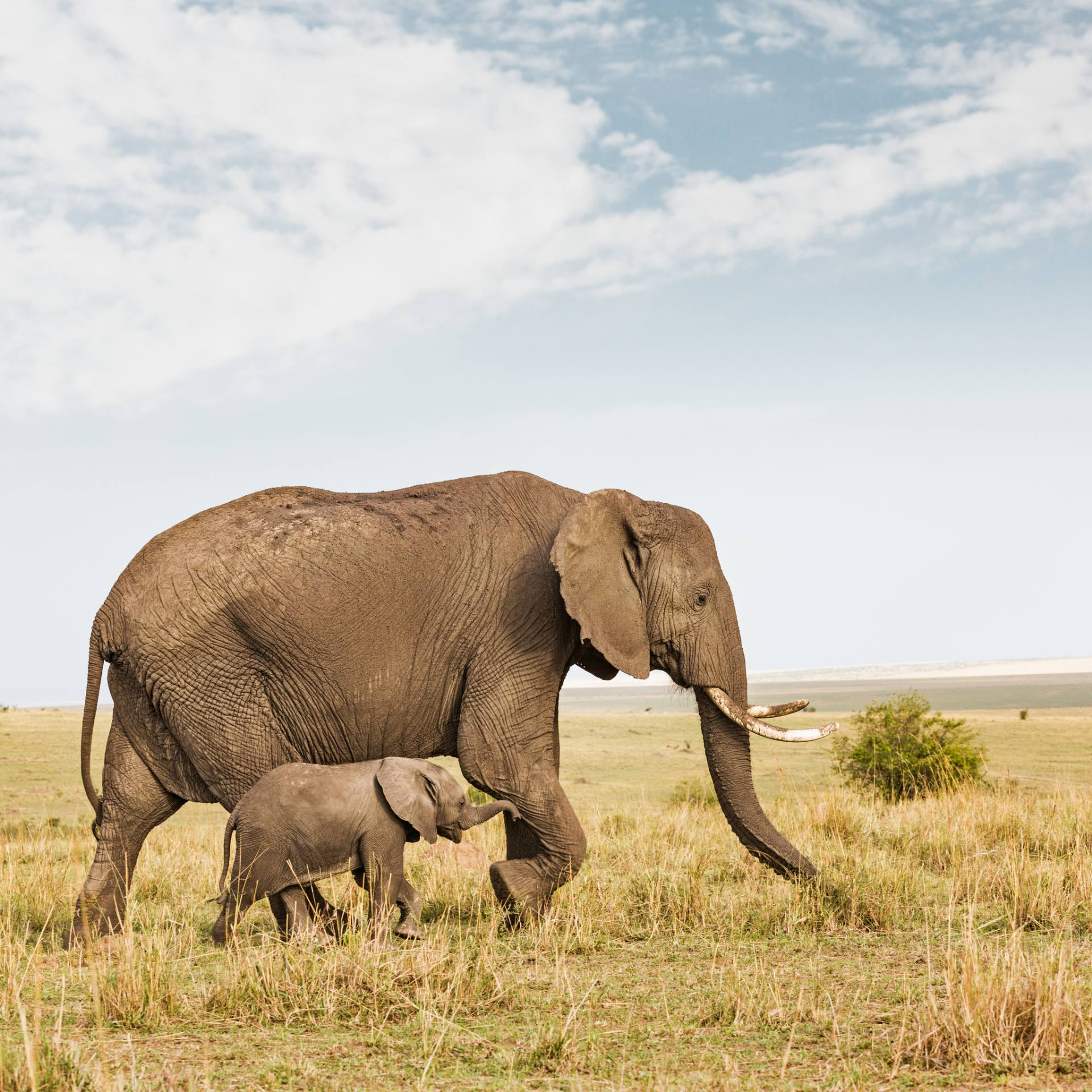 Buy Mom and Baby Elephant Walking -W6 | Limited Edition Art Print By ...