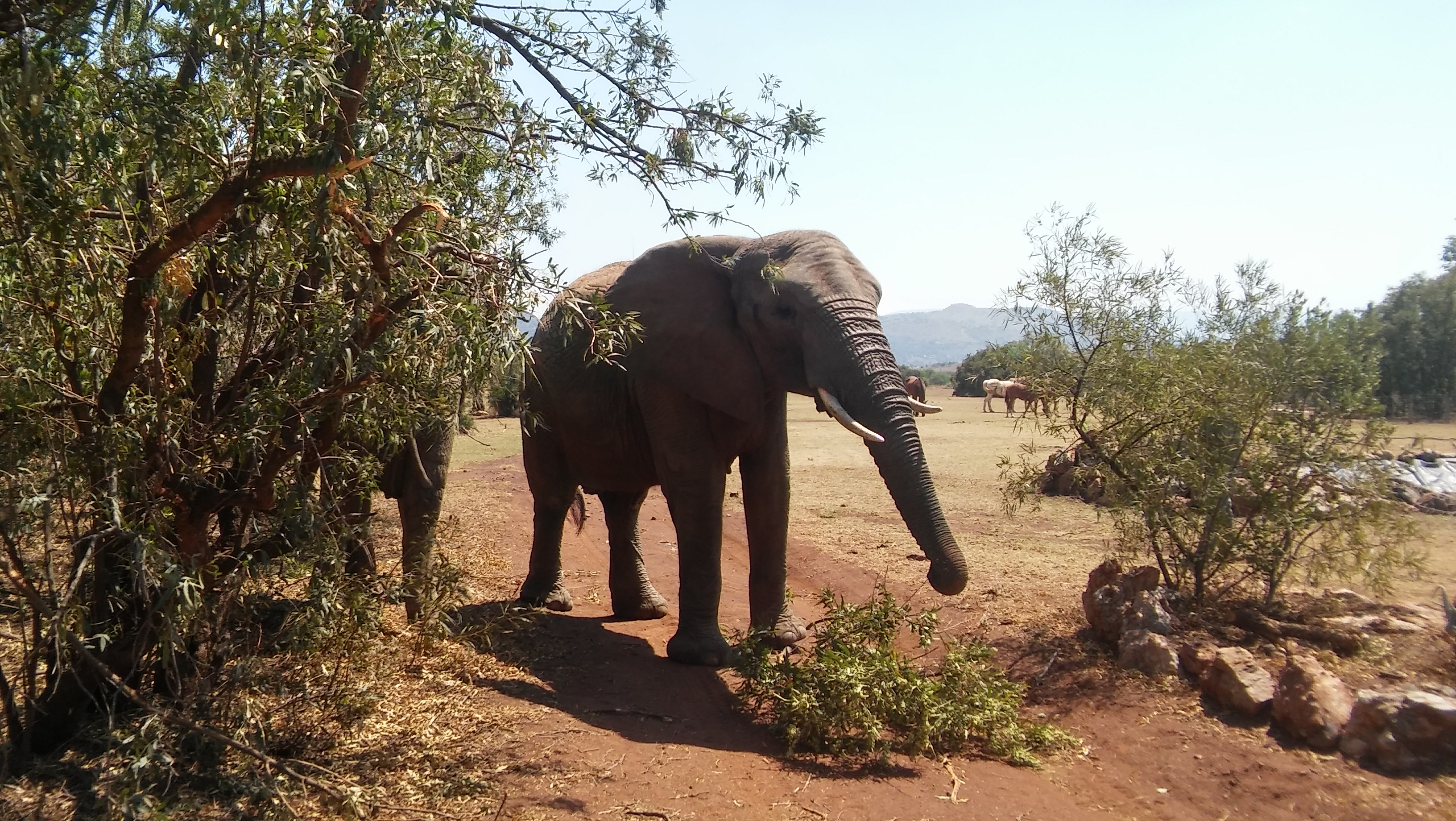 Elephant Walking Safari in Johannesburg South Africa   Safari Day Tours