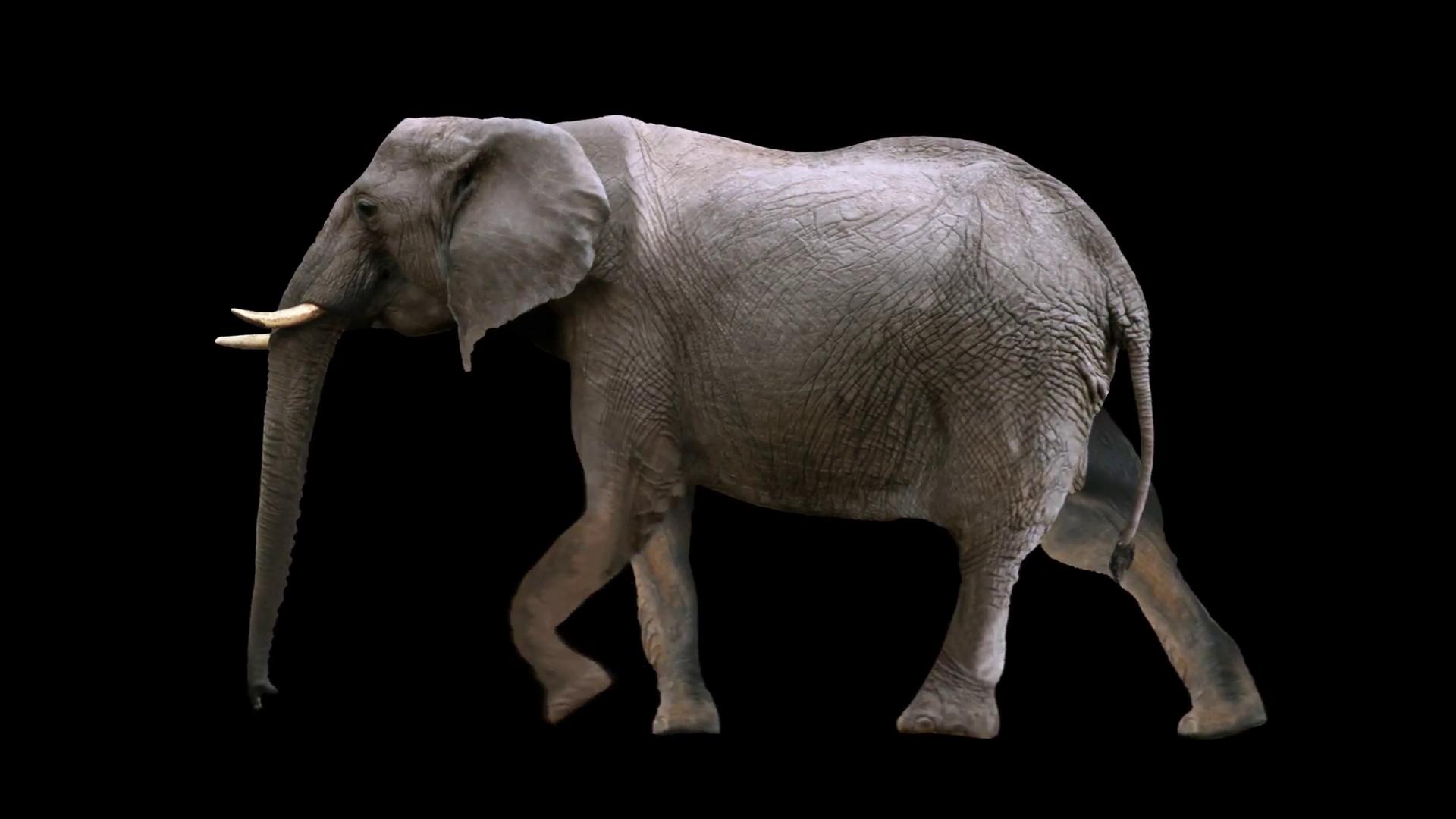 Elephant Walking loop Motion Background - Videoblocks