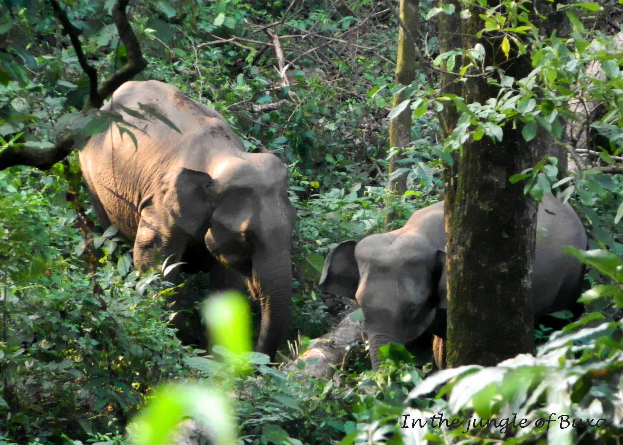 Elephants in buxa photo