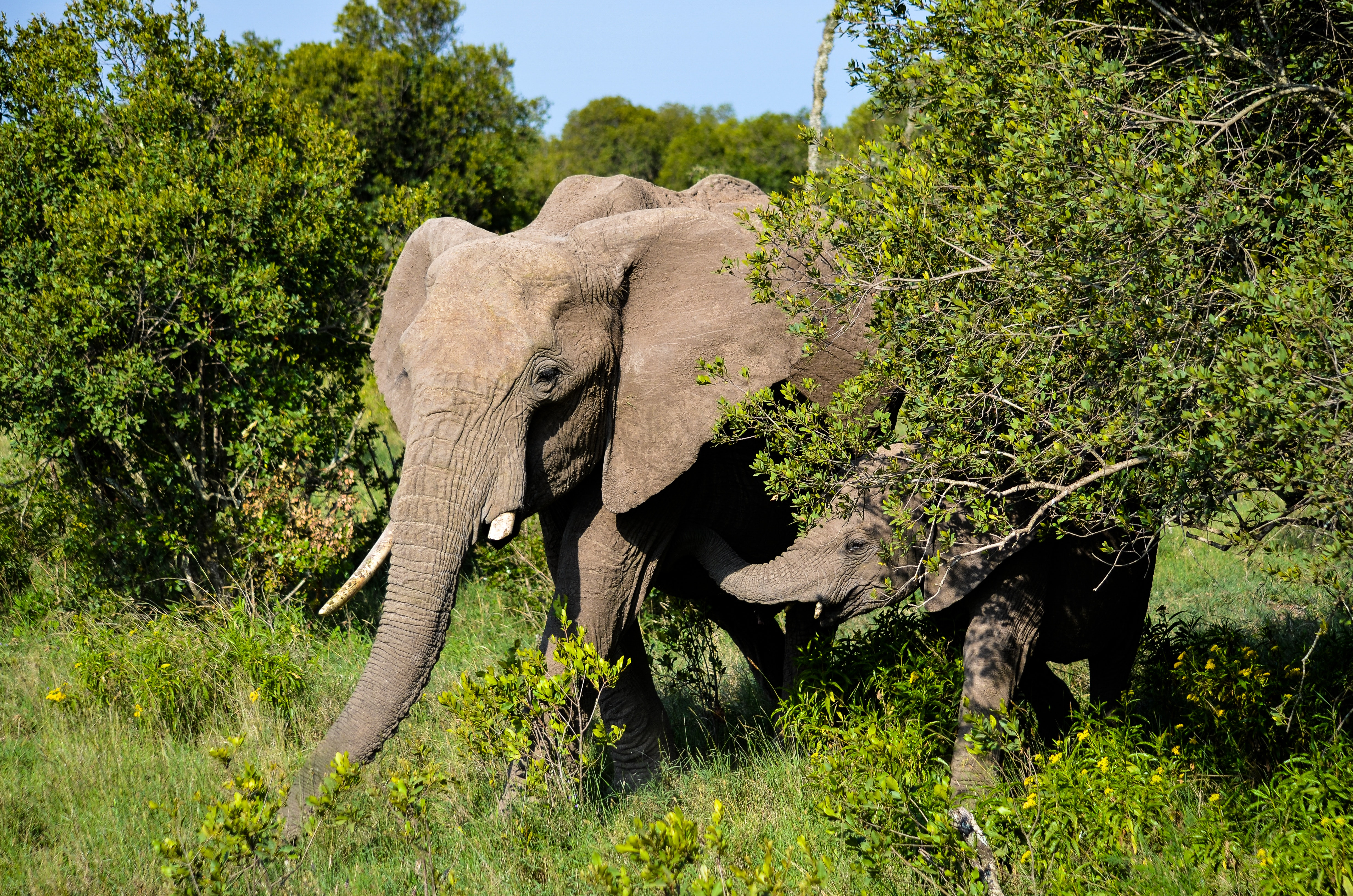 Elephants Walking in Forest, Adult, Photography, Wilderness, Wild, HQ Photo
