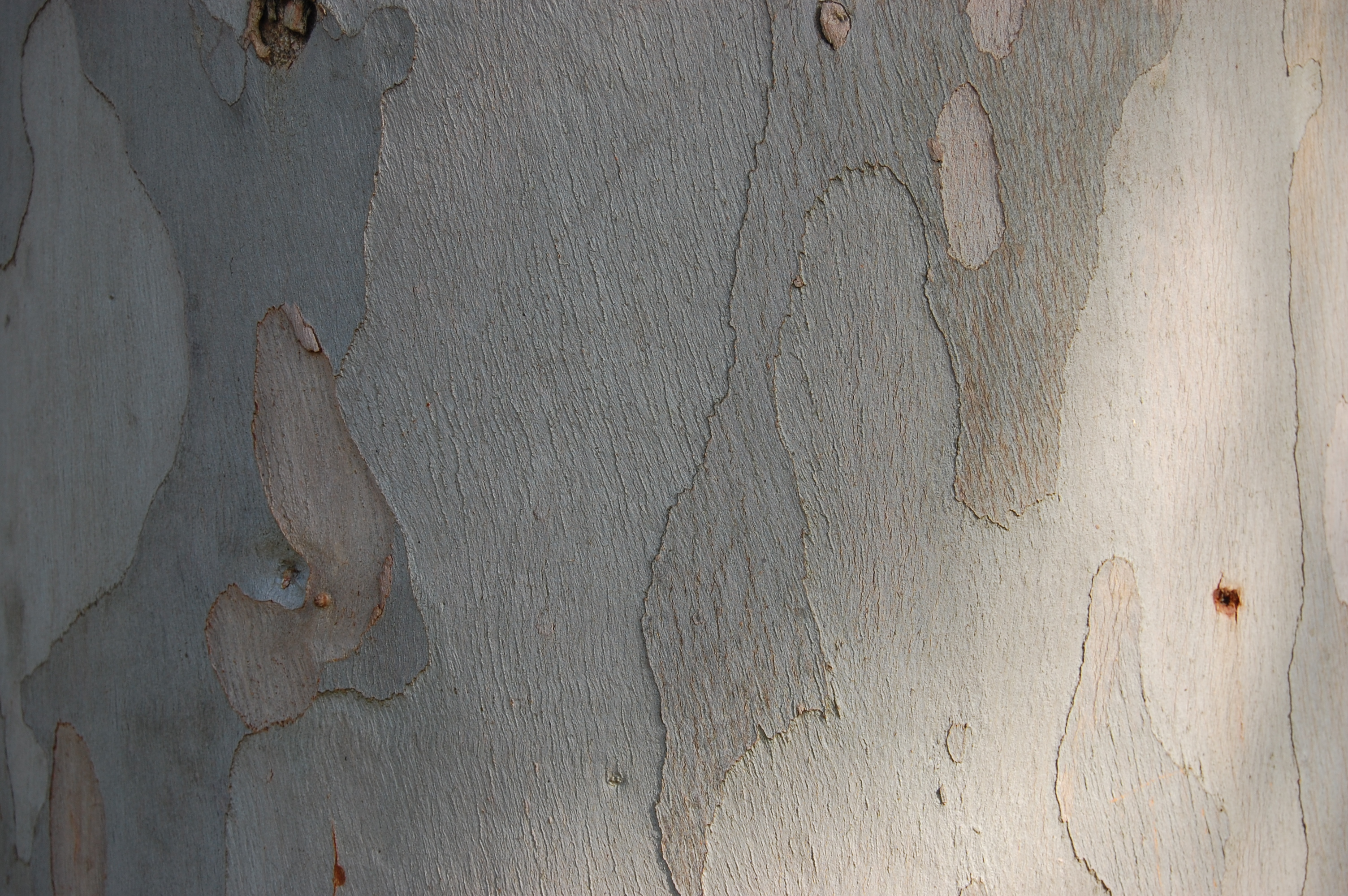 Eucalyptus perriniana bark photo