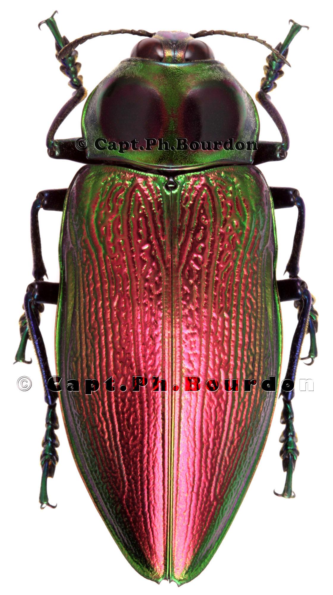Euchroma gigantea beetle photo