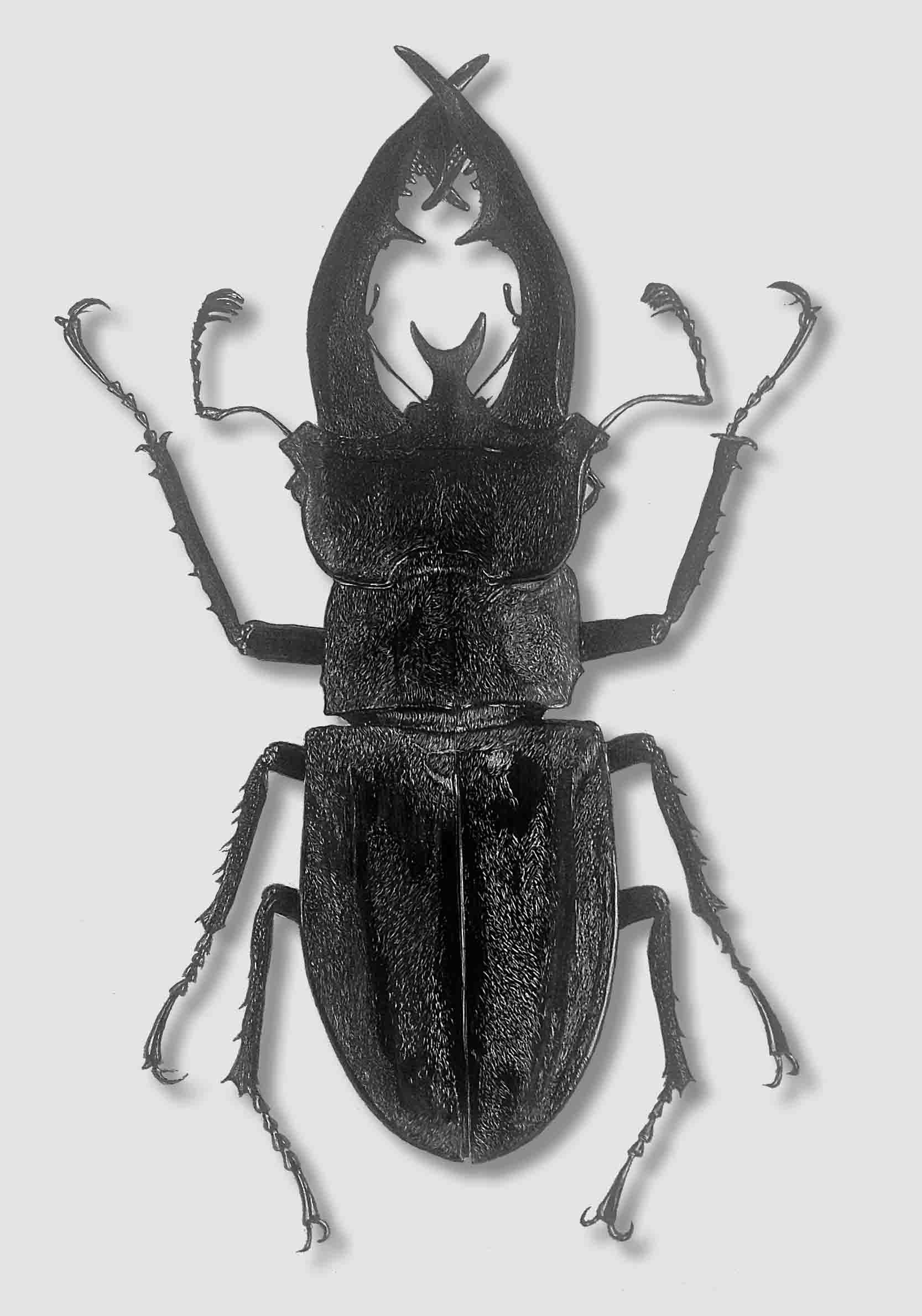 Eupholus beetle mix photo