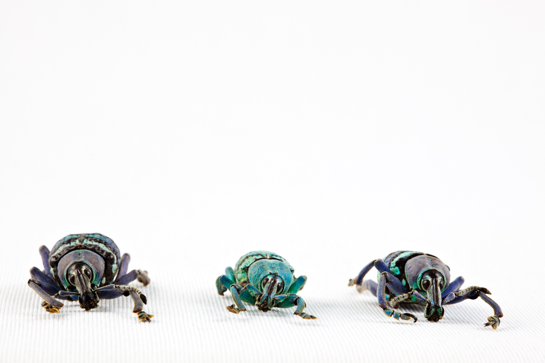 Eupholus beetle trio photo
