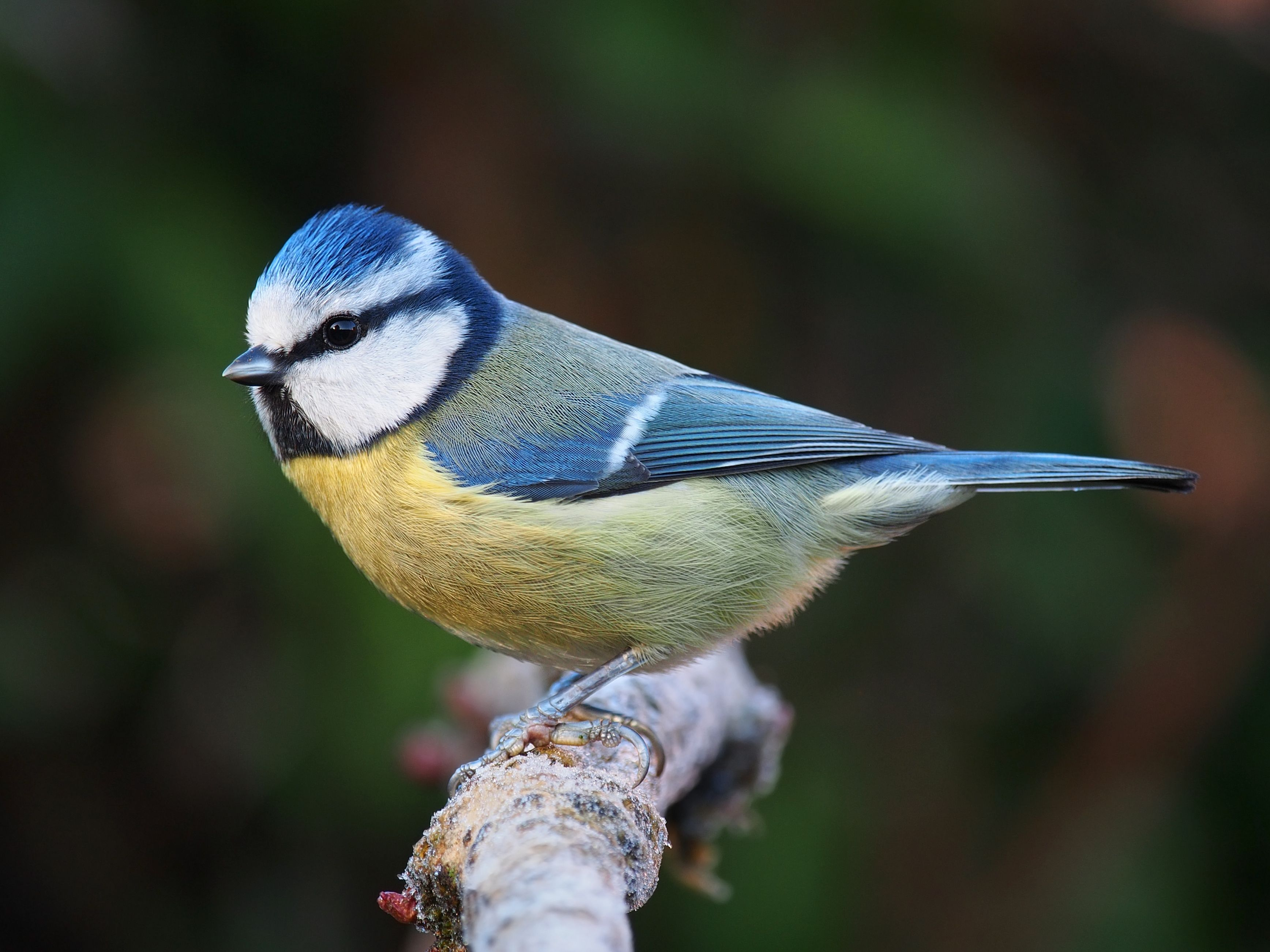 Blue Tit - Sterling, Scotland, 2013 | Scotland - 2012 | Pinterest ...
