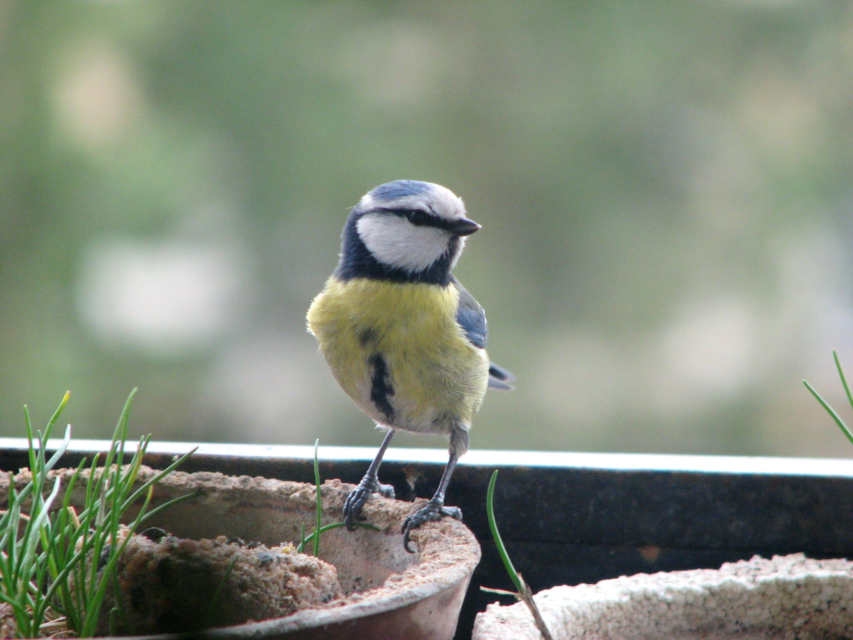 Eurasian Blue Tit, Animal, Bird, Blue, Eurasian, HQ Photo