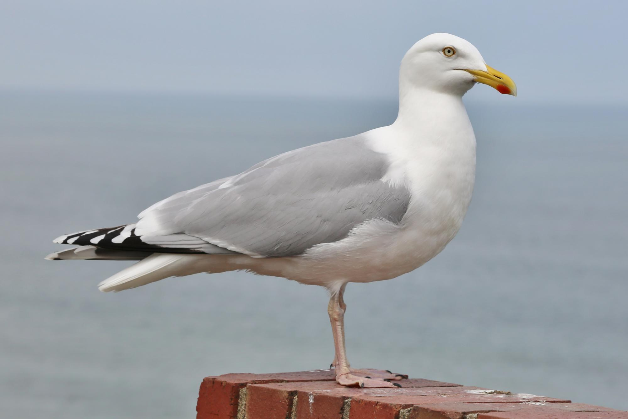 European herring gull photo
