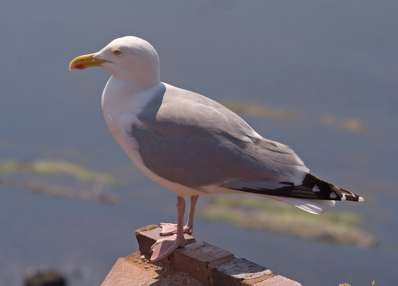 European herring gull - Wikiwand