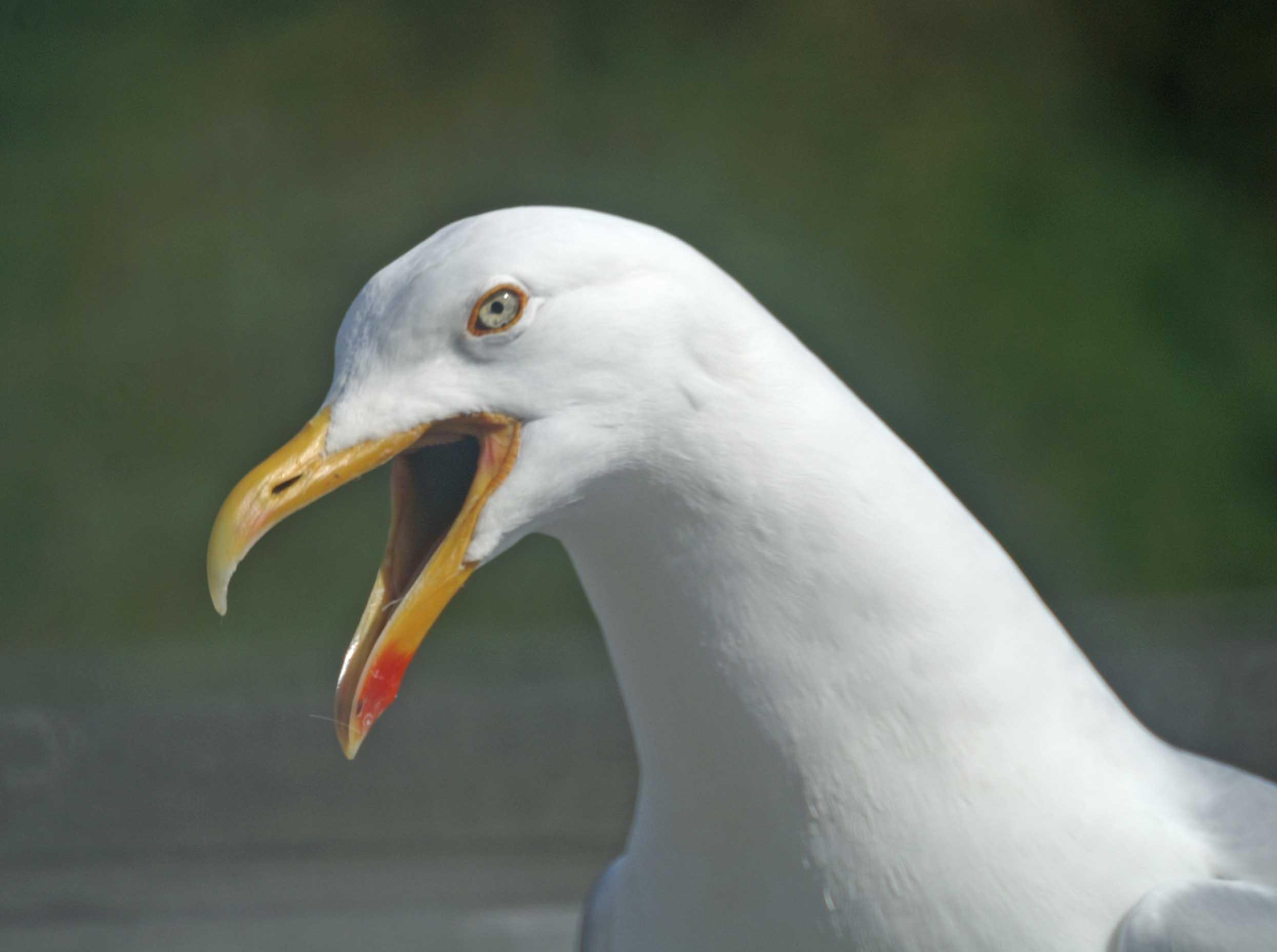 herring gull nuisance | everyday nature trails