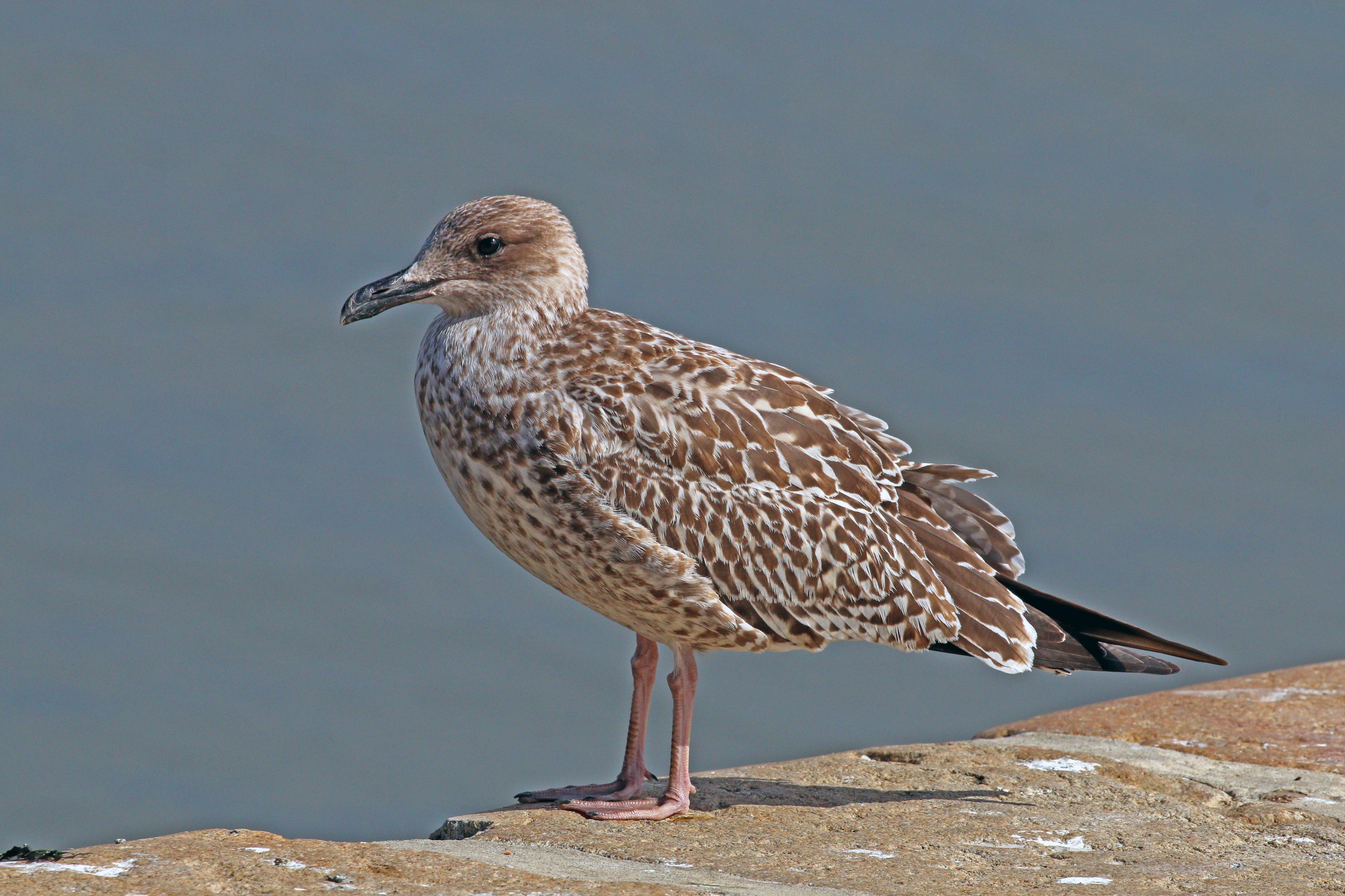 File:European herring gull (Larus argentatus) juvenile.jpg ...