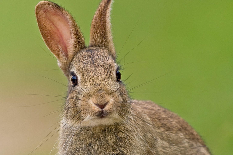 Free photo: European Rabbit - Animal, Cute, European ...