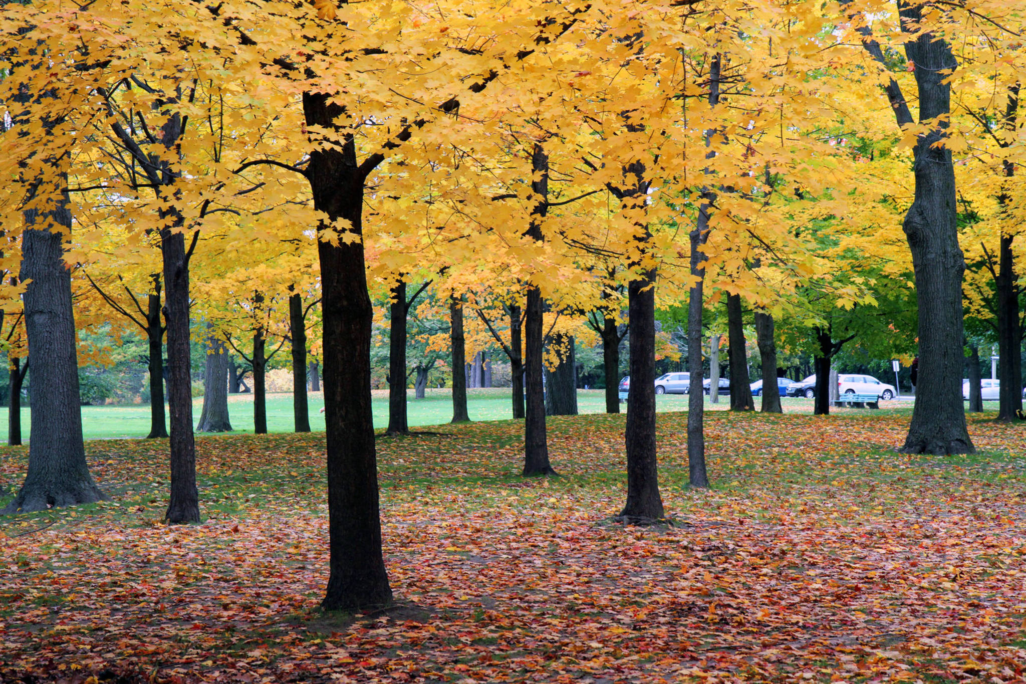 Hot weather could be a buzz kill for fall colours in Toronto