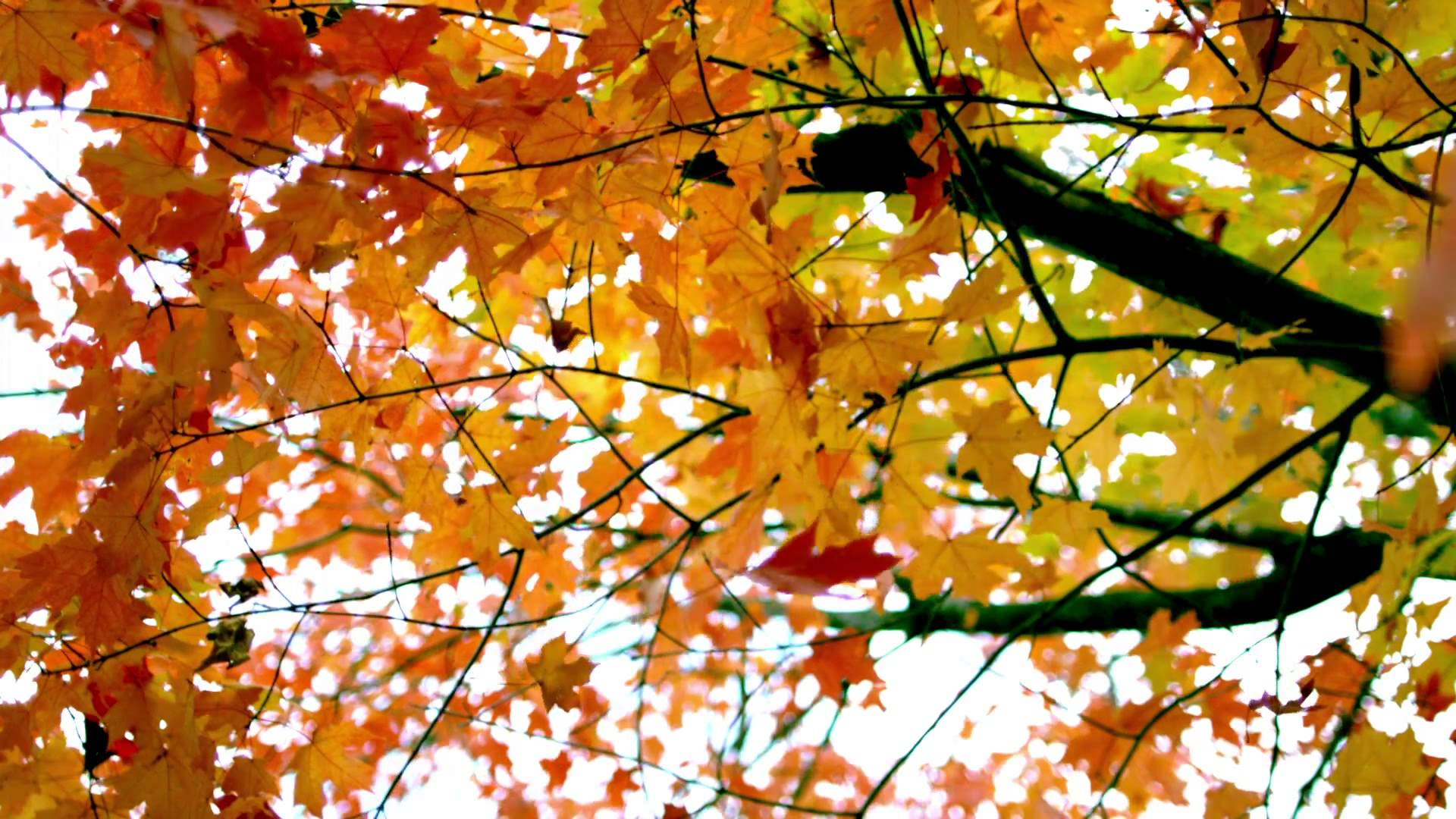 slow motion fall leaves fluttering by tree - YouTube