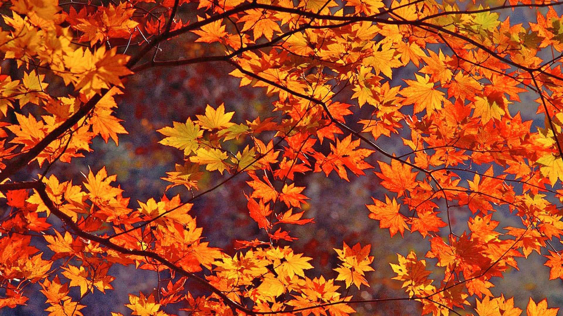 Autumn Leaves Wallpaper Widescreen Full Hd Pics For Iphone Fall ...