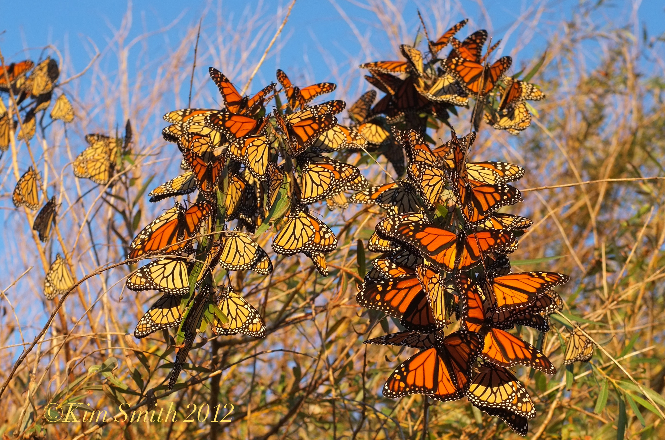 Cape Ann Milkweed Project ~ Place your orders today | Kim Smith Designs