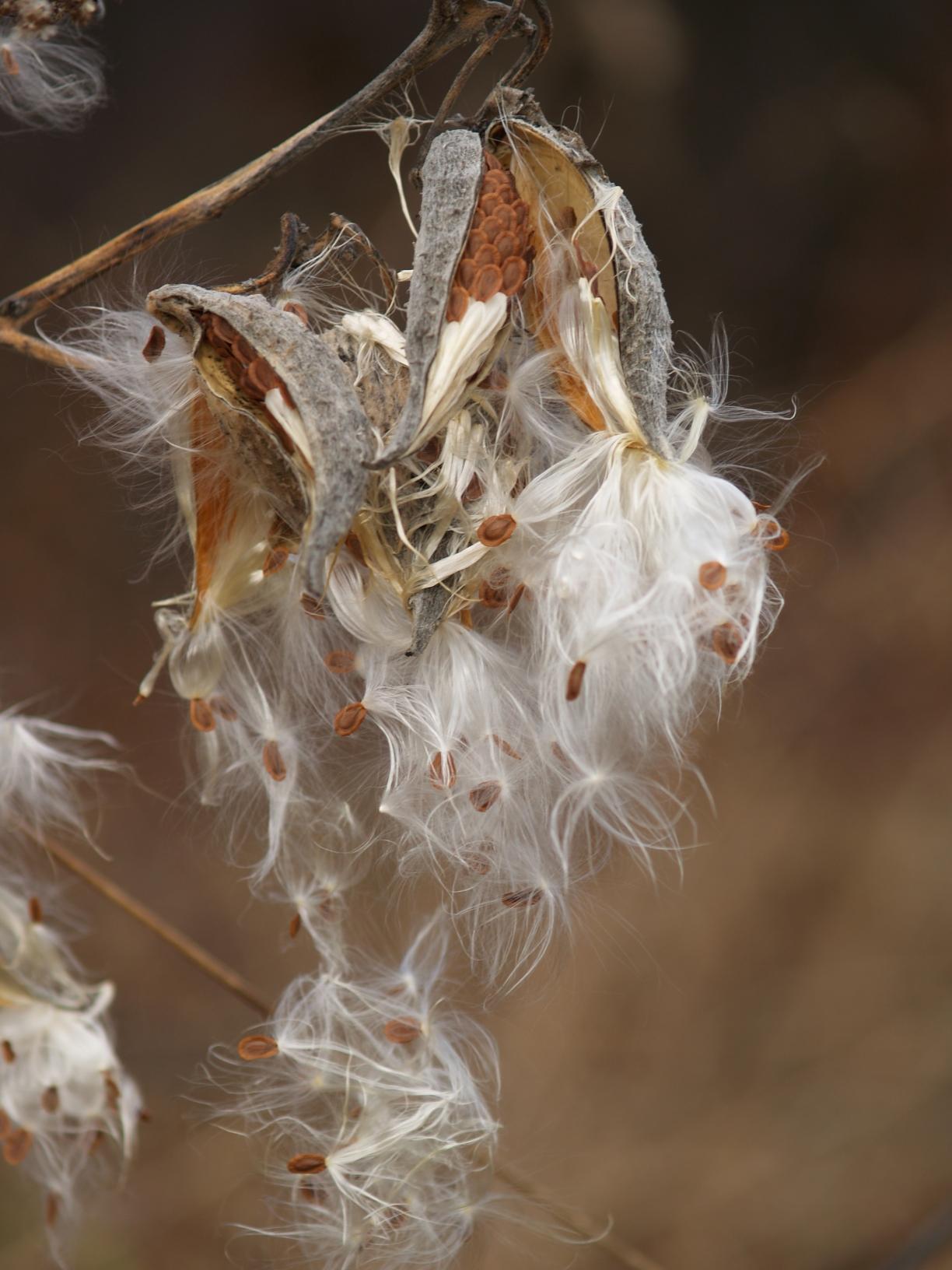 Fall milkweed, Seed, Seeds, Plant, Nature, HQ Photo