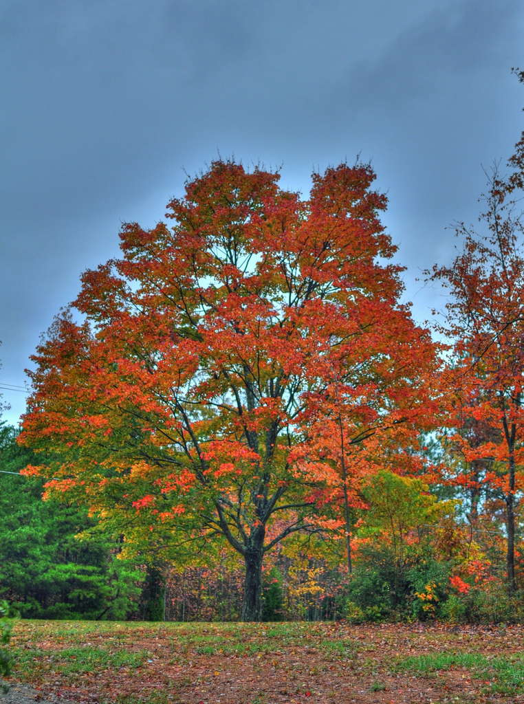 Fall season, Autumn, Maple, Turning, Tree, HQ Photo