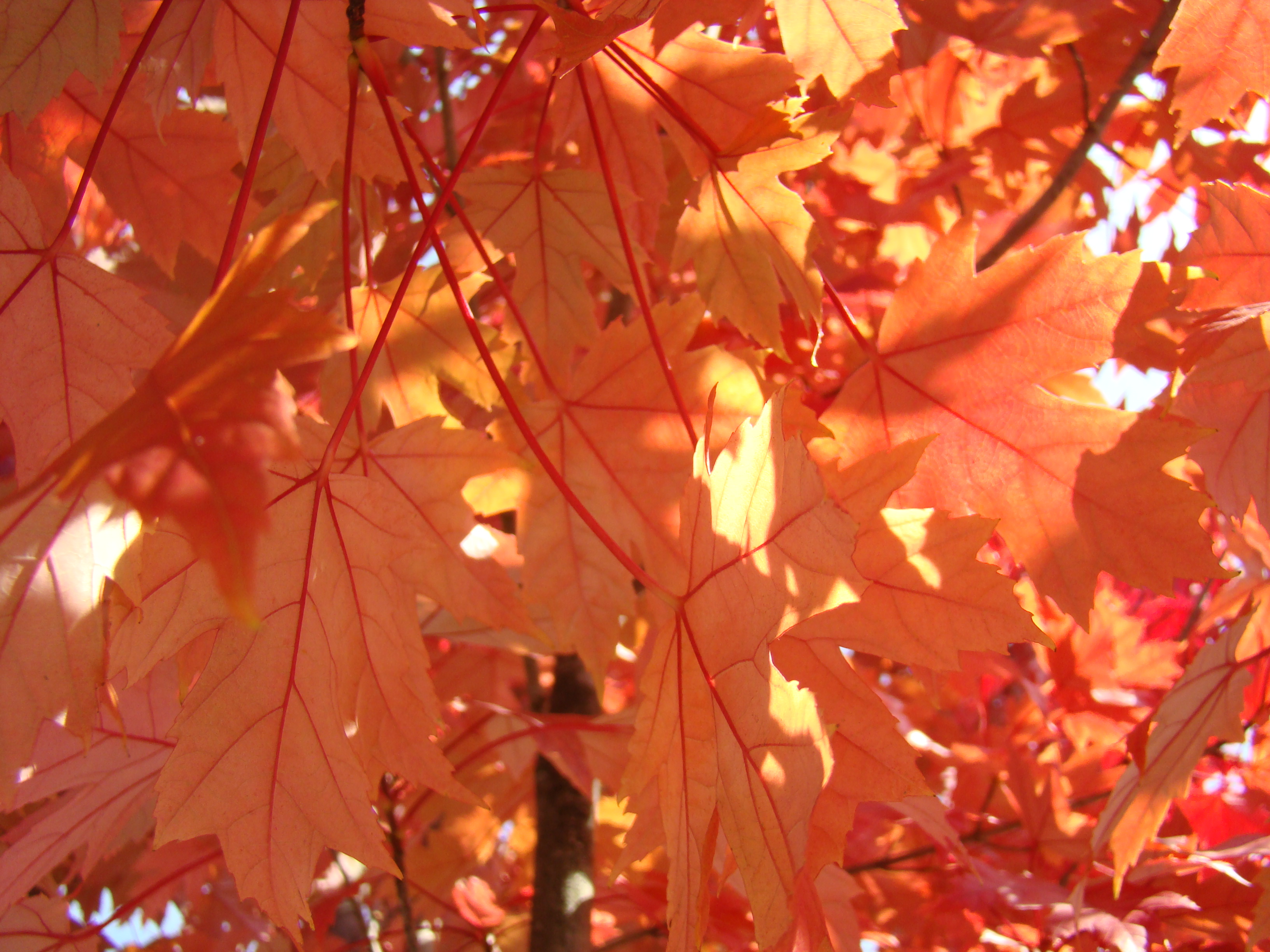 Art Prints Autumn Leaves Sunlit Fall Season Trees Baslee Tro ...