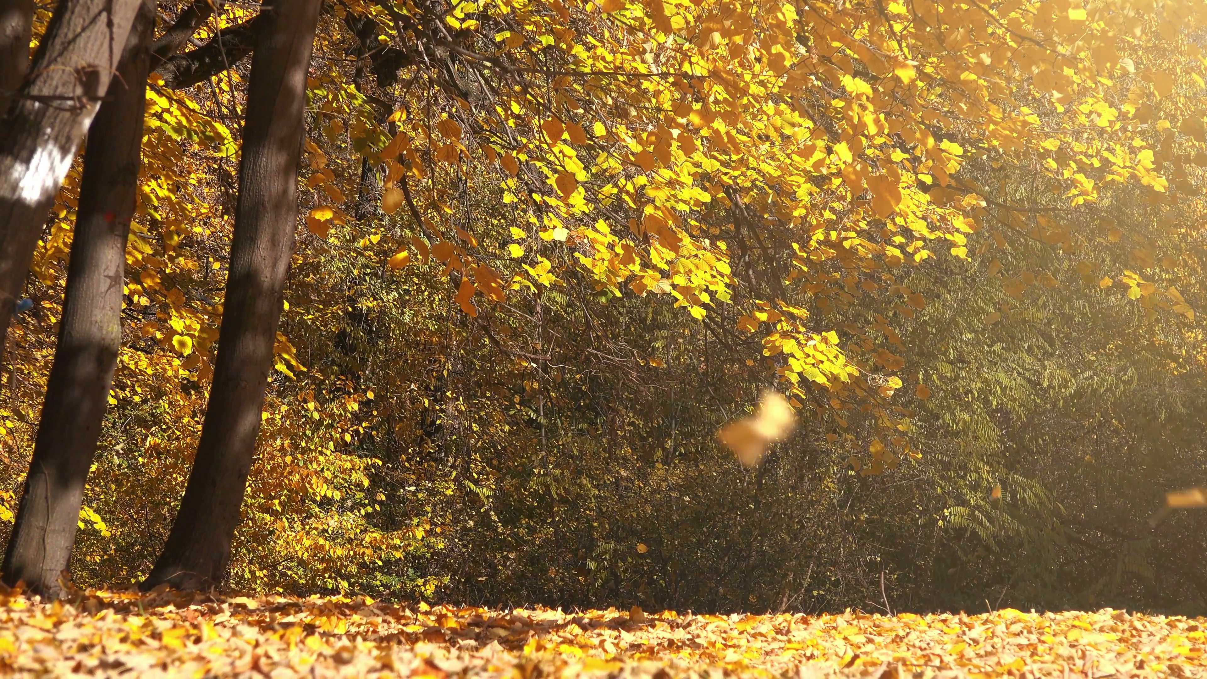 Slow motion of falling autumn leaves, shedding treetops in park ...