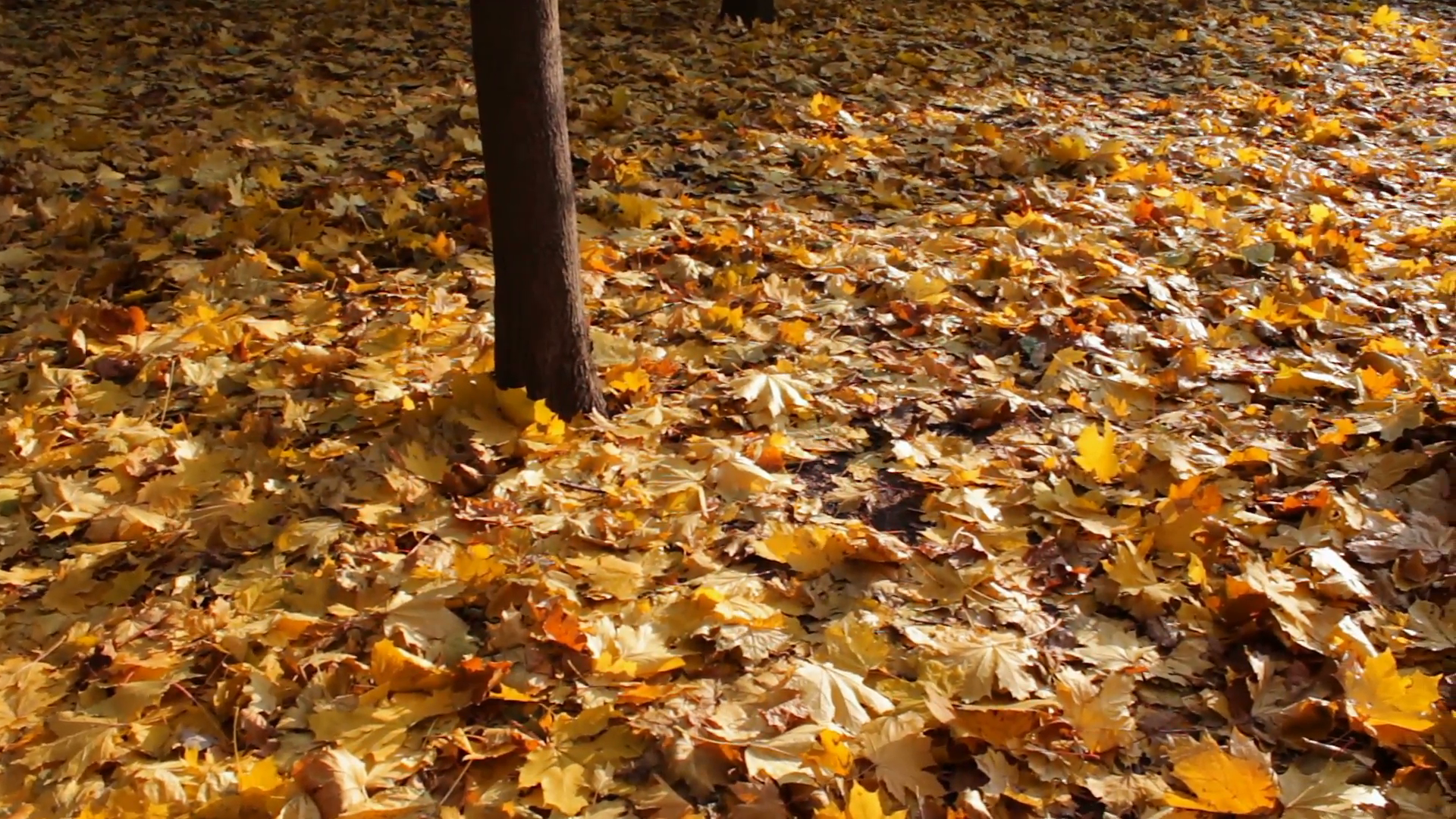 Yellow fallen leaves in autumn forest Stock Video Footage - Videoblocks