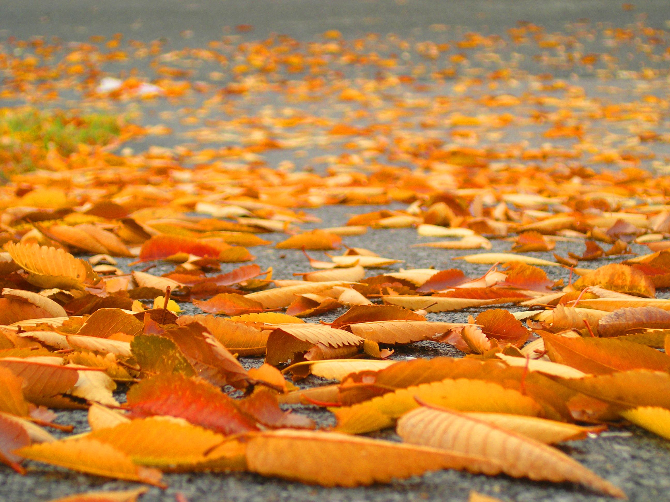 File:Fallen Leaves.jpg - Wikimedia Commons