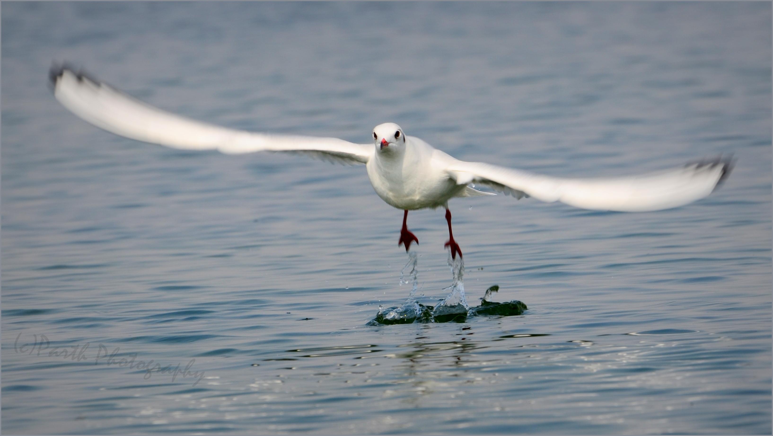 Seagull | ~` Parth Fotopedia`~