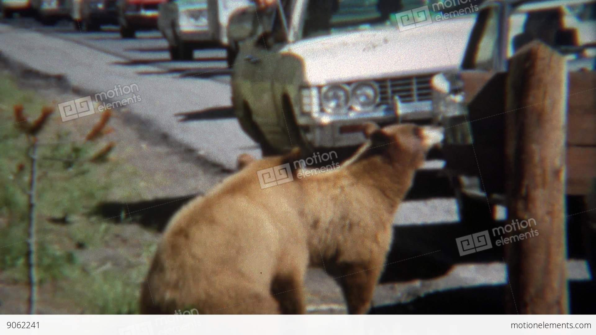 1971: Grizzly Bear Causing Traffic Jam Roadside Feeding The Animals ...