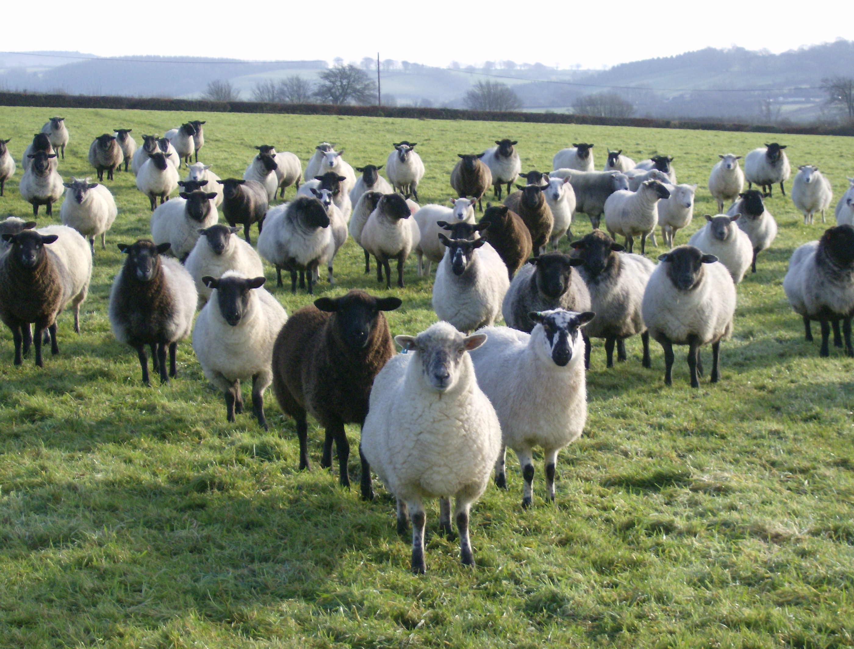 Sheep and goats gain benefits from sugar beet feed
