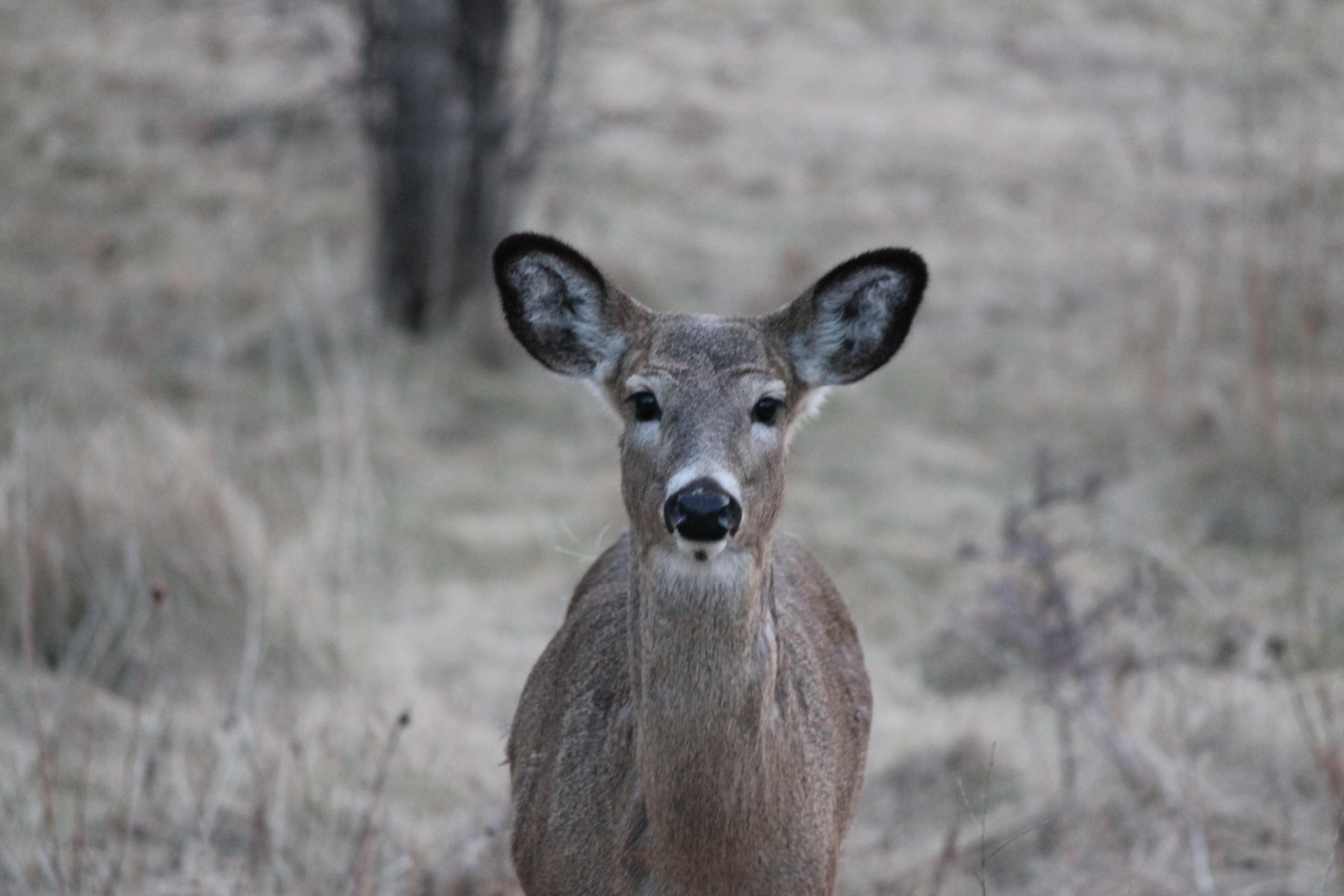 Doe, a Deer, A Female Deer! | Eye On The Area