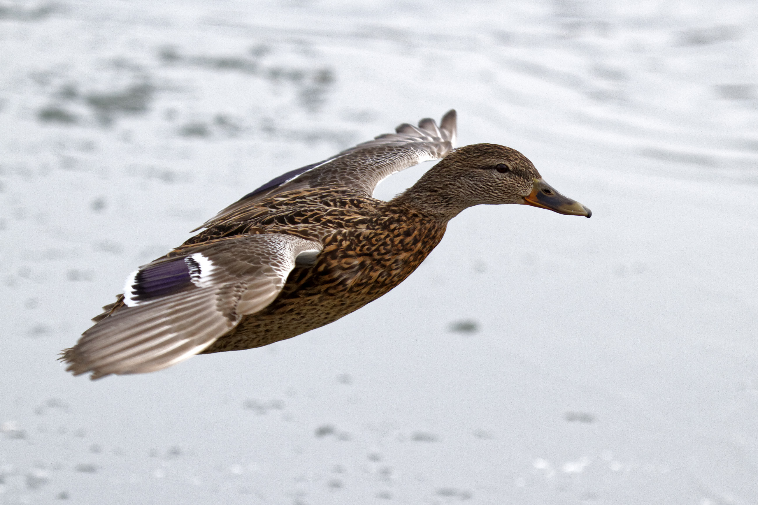 Female mallard duck in flight photo