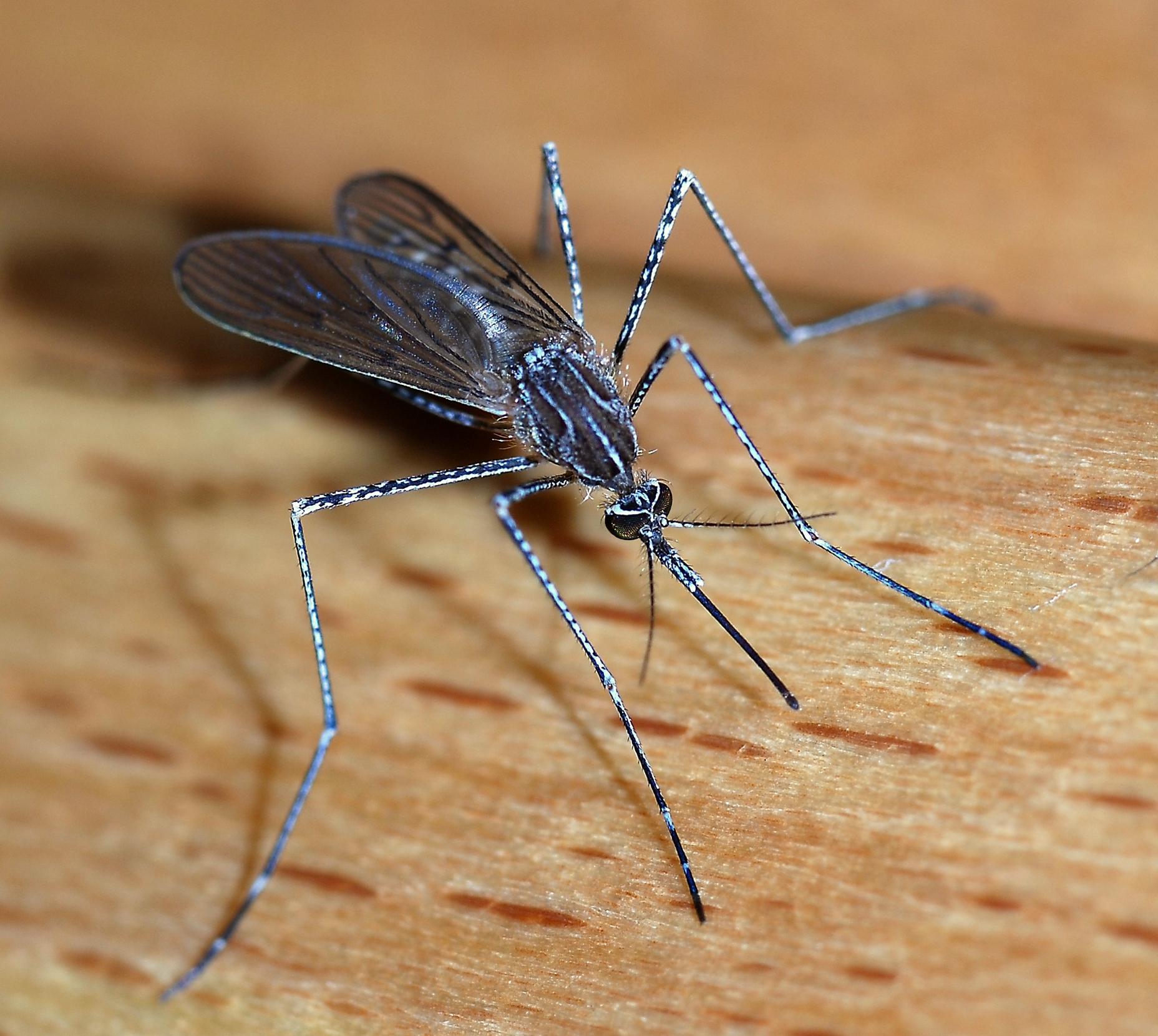 Mosquito - Wikipedia