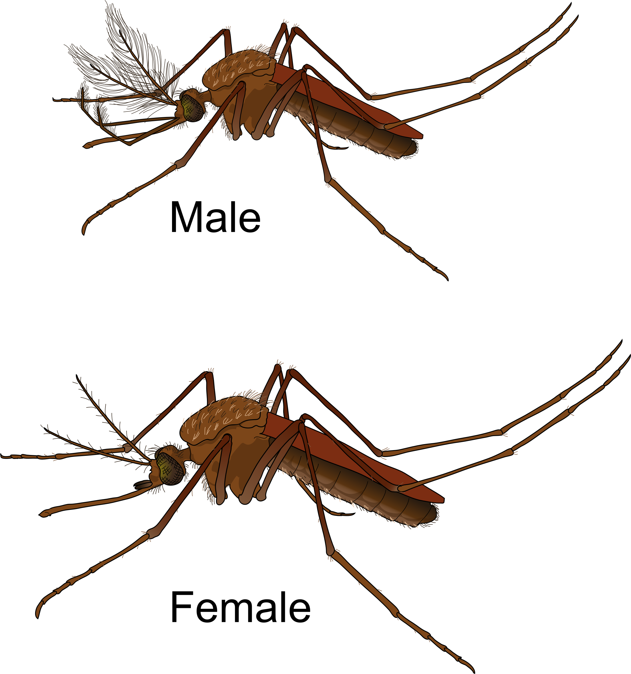 Aedes Mosquito Male and Female Icons PNG - Free PNG and Icons Downloads