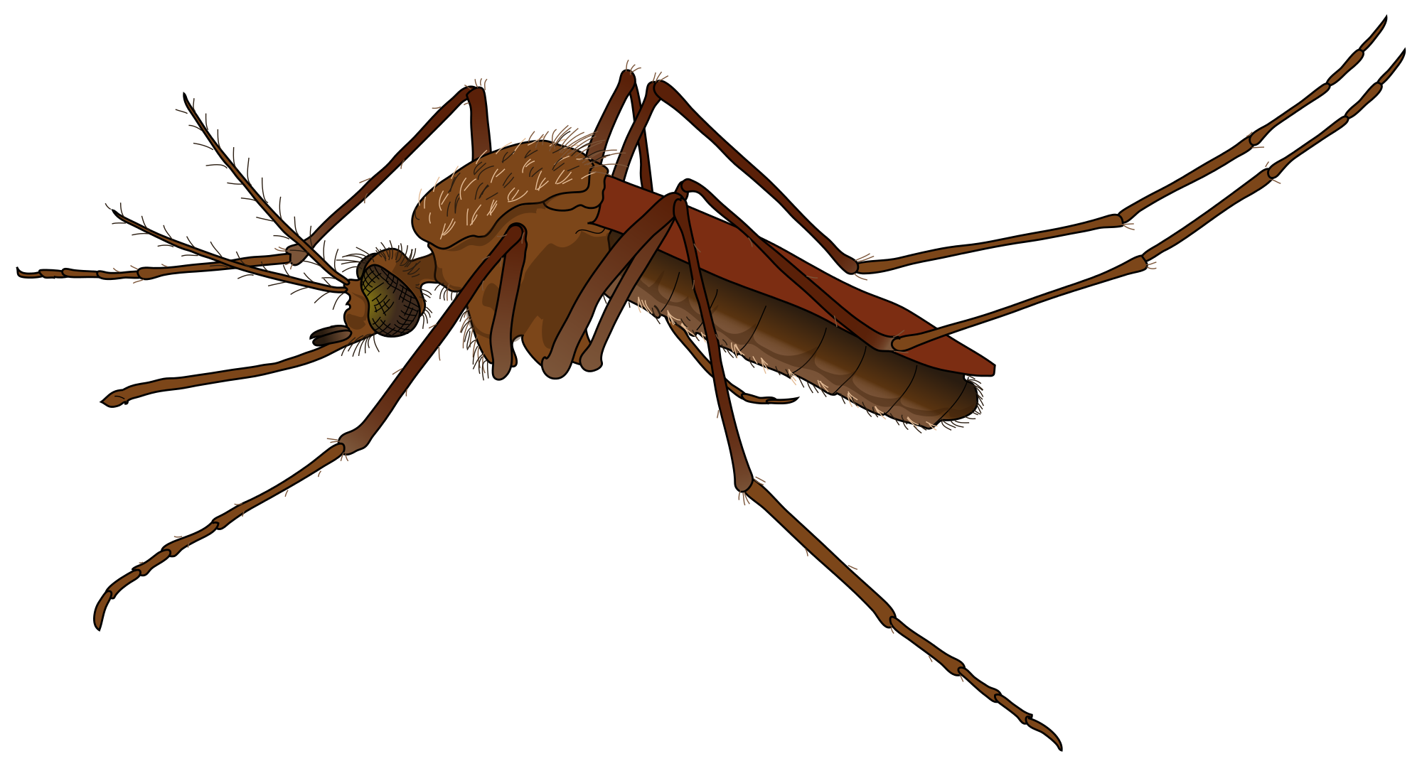 File:Mosquito female.svg - Wikimedia Commons