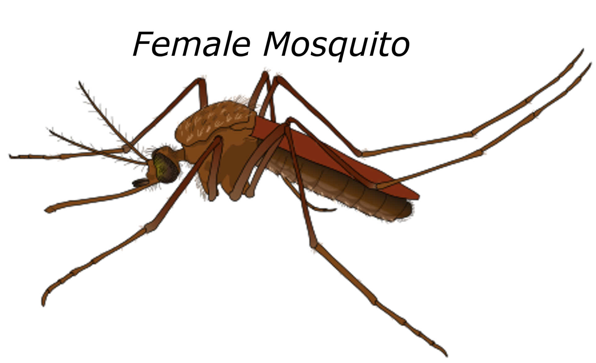 Female Mosquito, Animal, Female, Graphic, Insect, HQ Photo