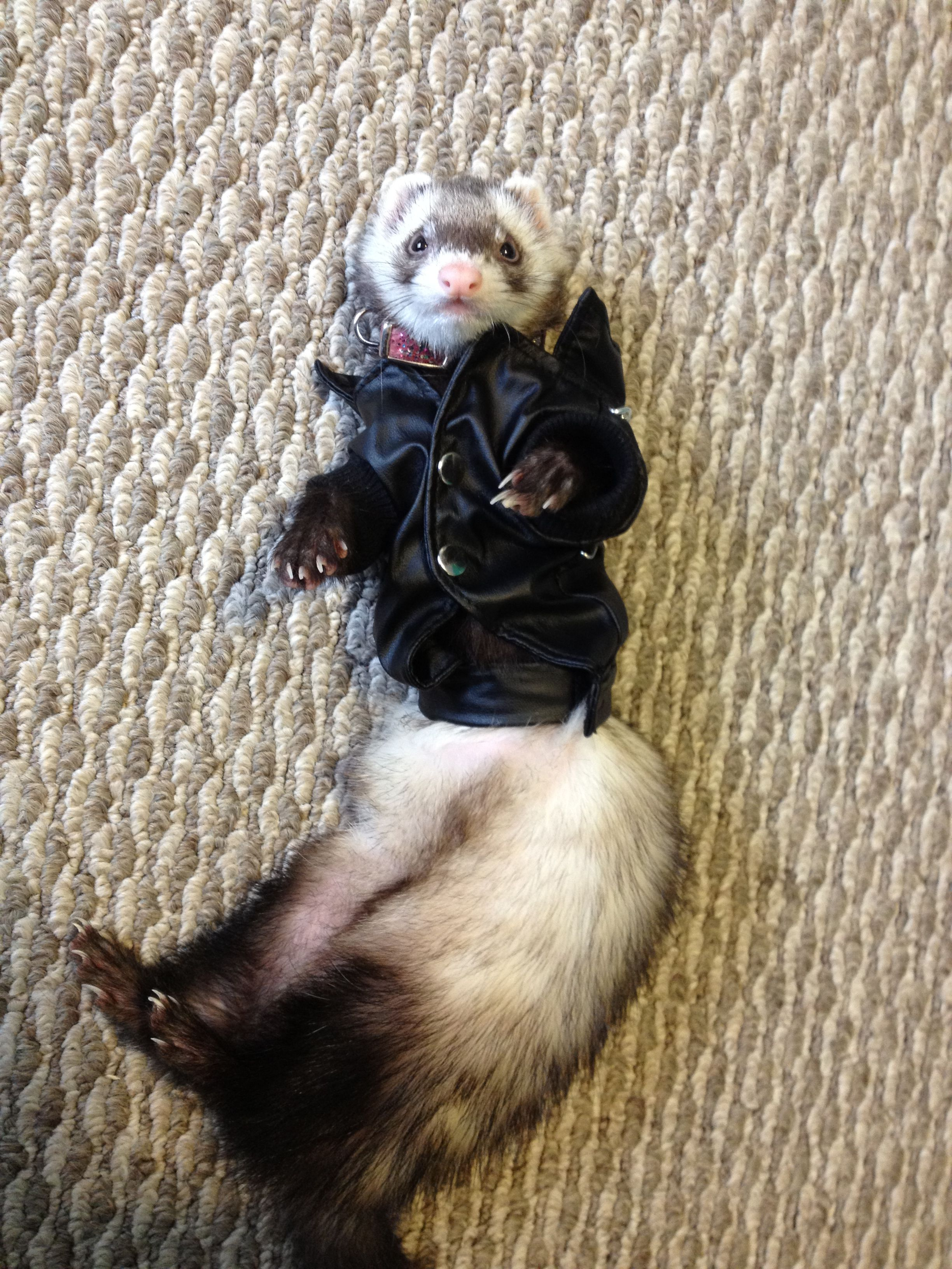 Leather jacket for ferret | Animals <3 | Pinterest | Ferret and Animal