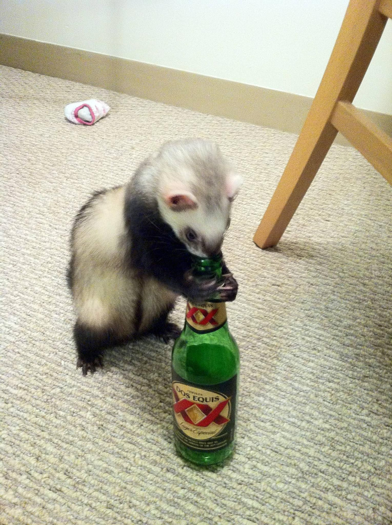 Got a new ferret this weekend. I think he and I will get along just ...