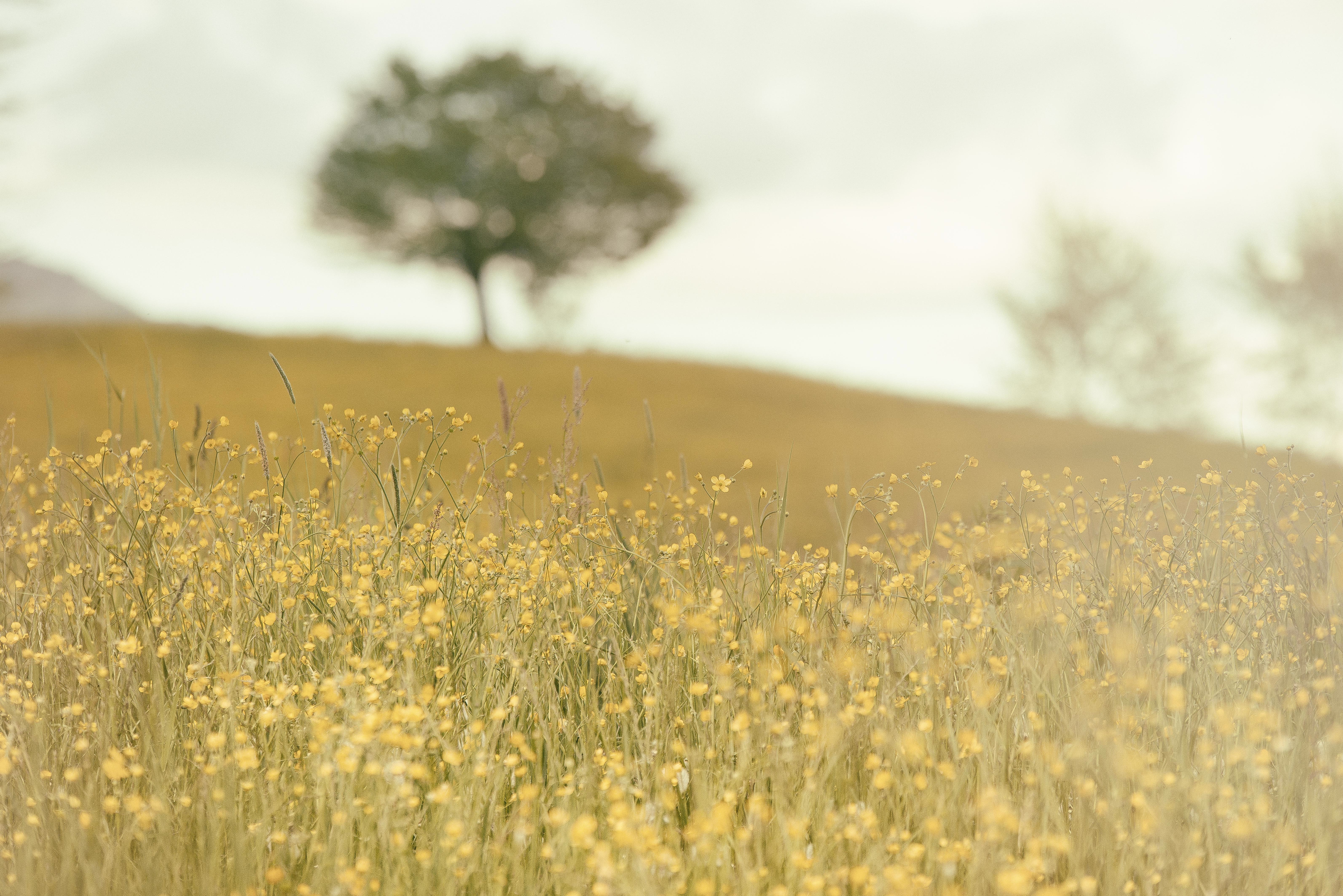 Yellow field landscape