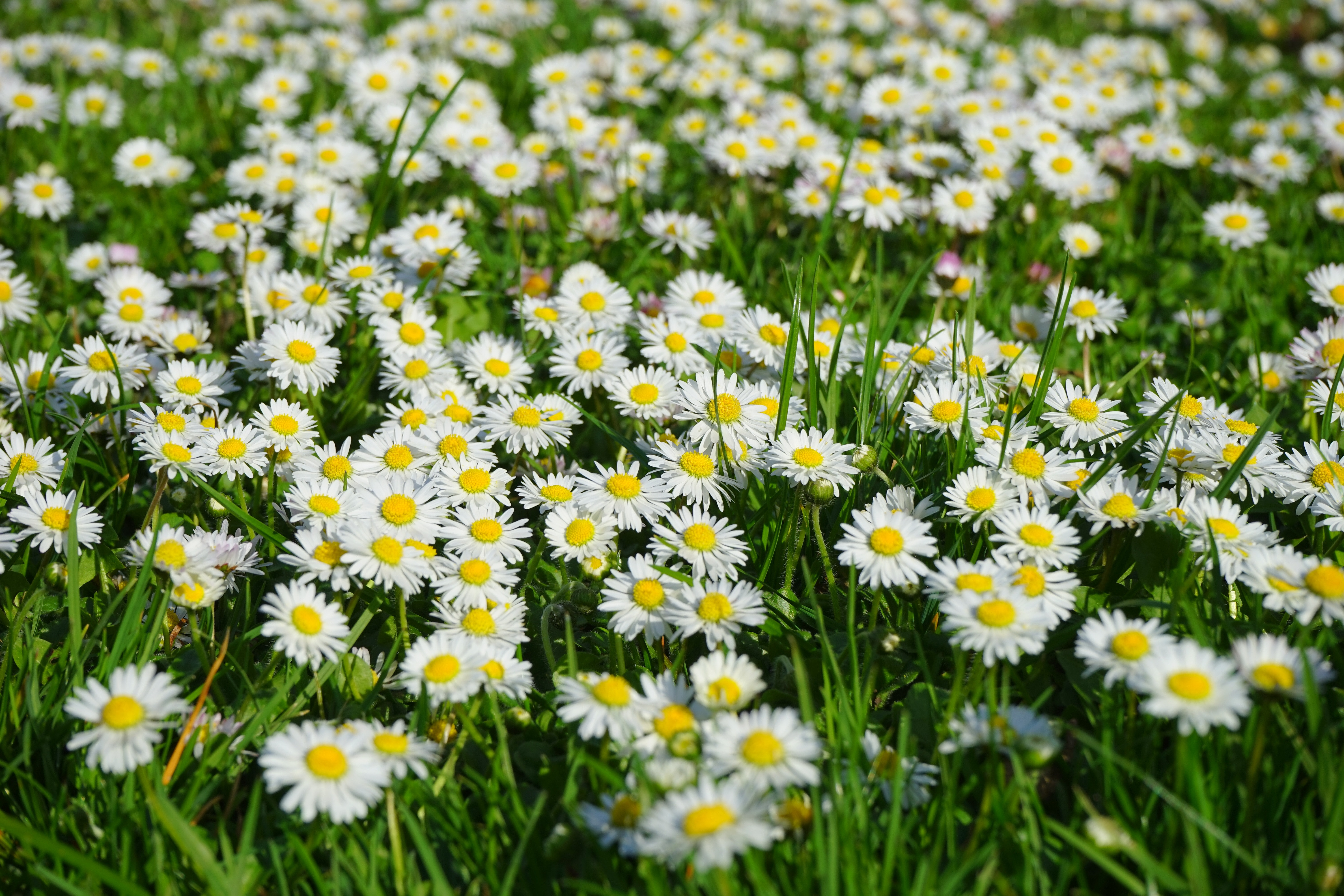 Free Photo Field Of White And Yellow Daisies Little Daisy Nature