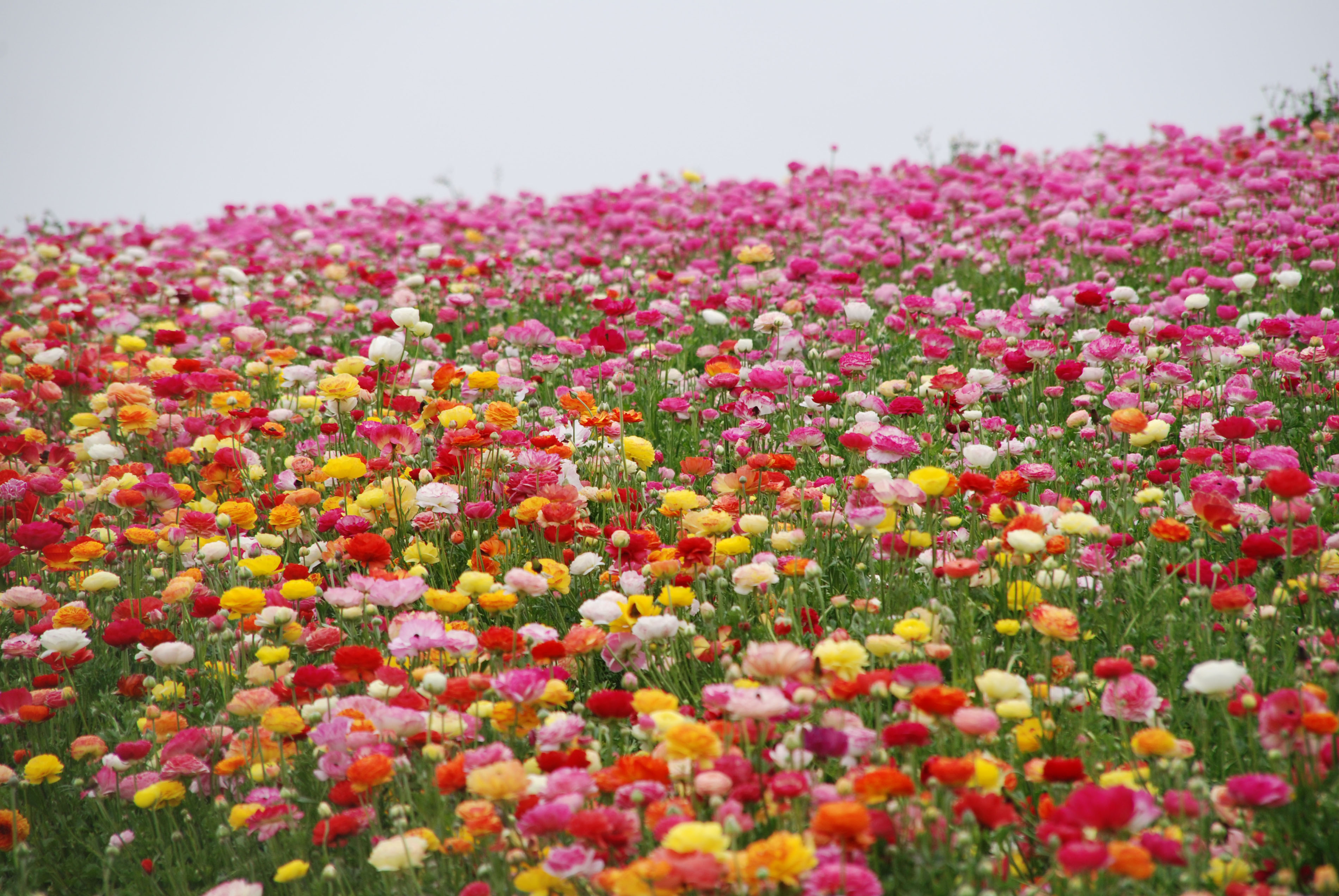 Free Photo Fields Of Flowers Green Macro Pink Free Download