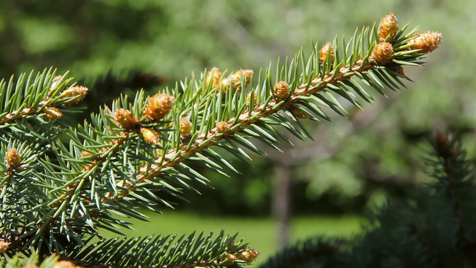 Close up of a spruce tree branch with tiny pine cones growing on it ...