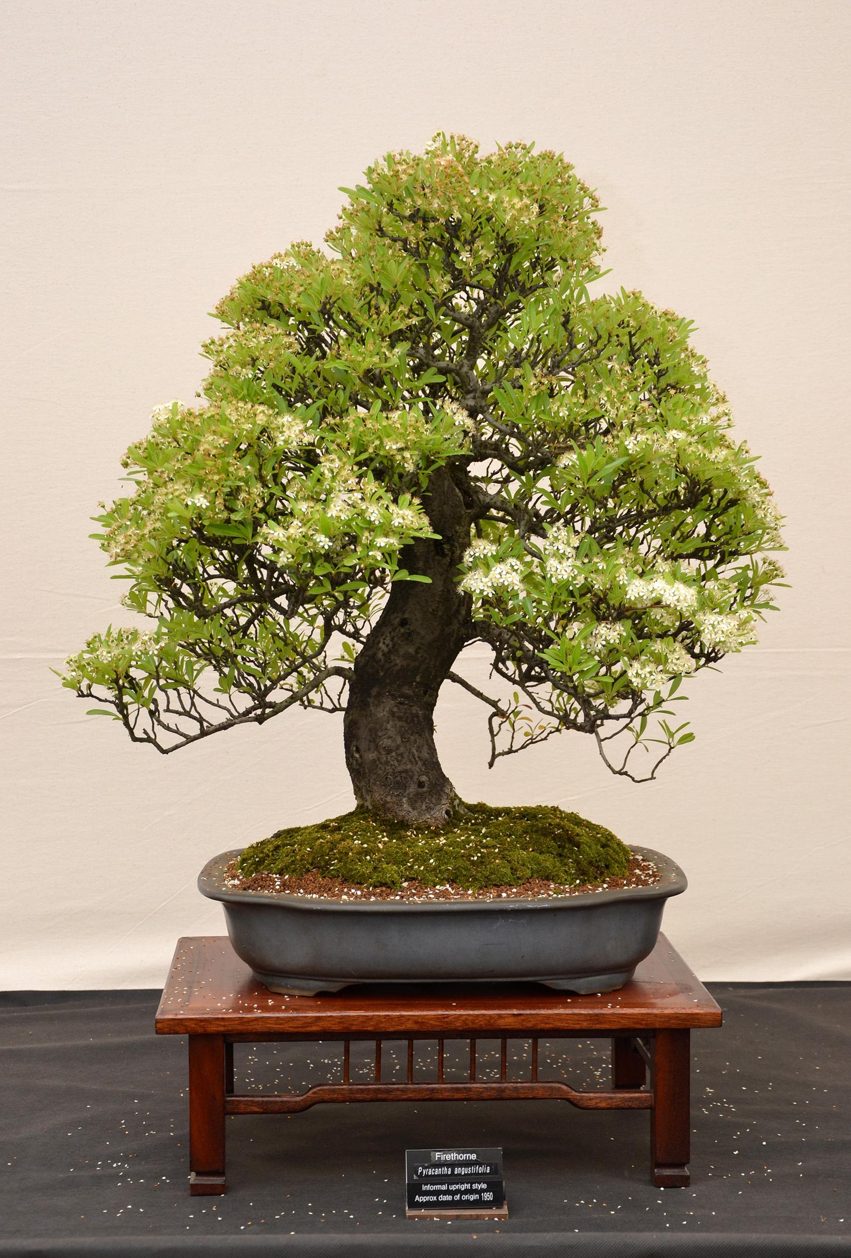 Free Photo Firethorn Bonsai Aesthetics Miniature Moss Free Download Jooinn